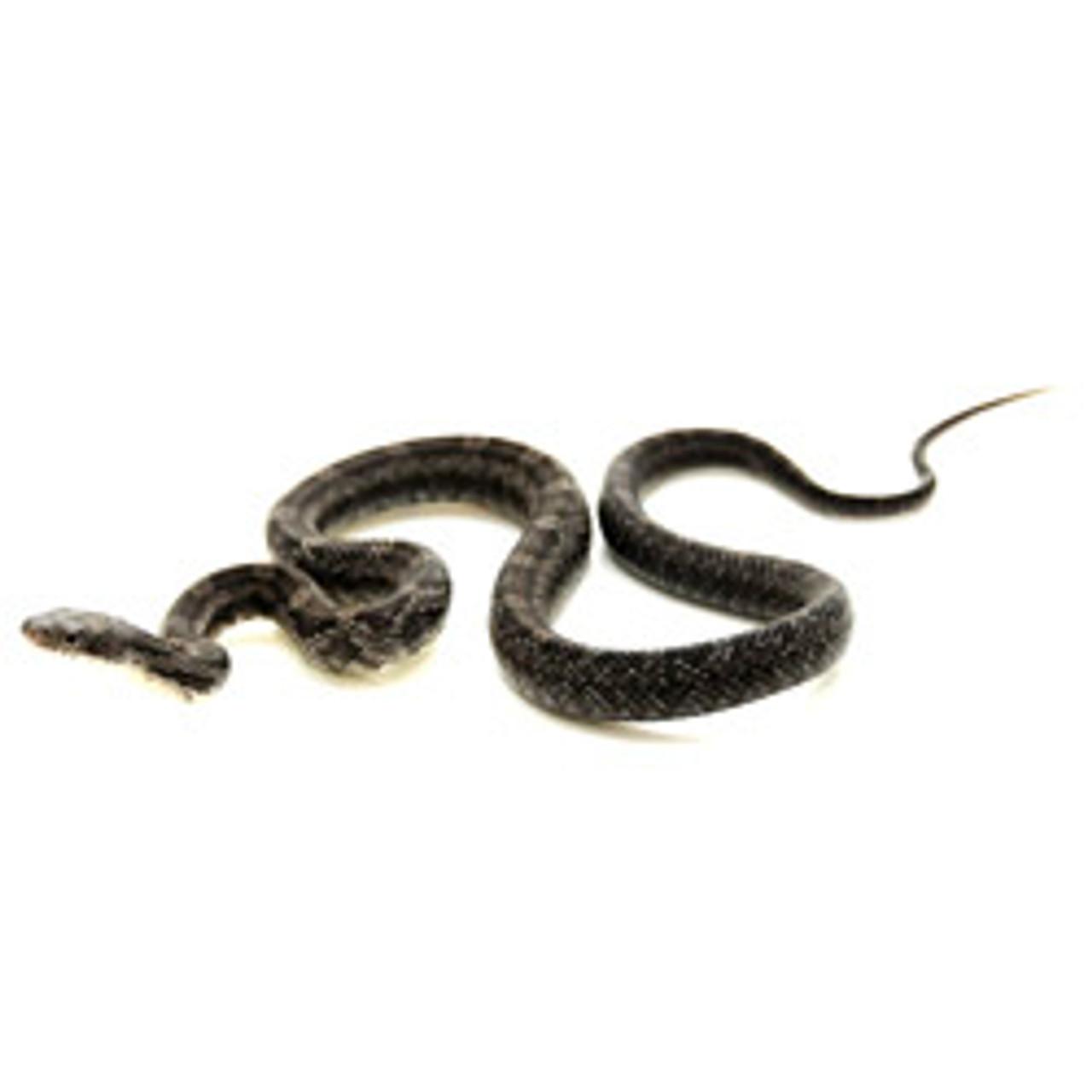 Black Rat Snake (Pantherophis obsoletus)