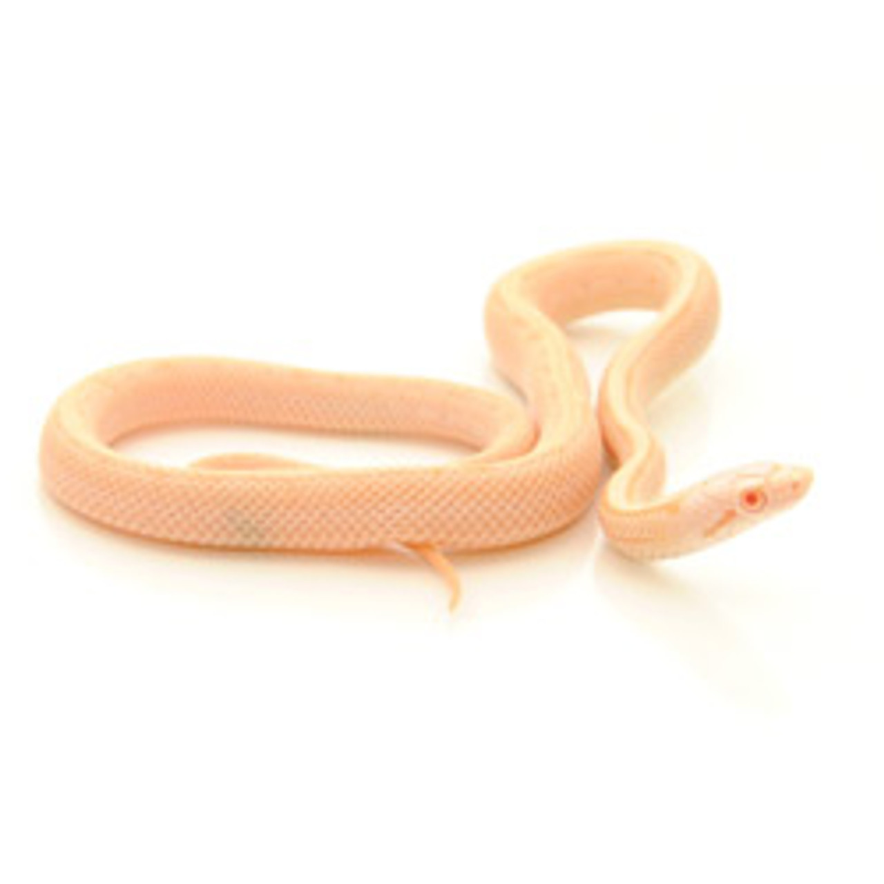 Albino Blotchless Rat Snake (Elaphe obsoleta)