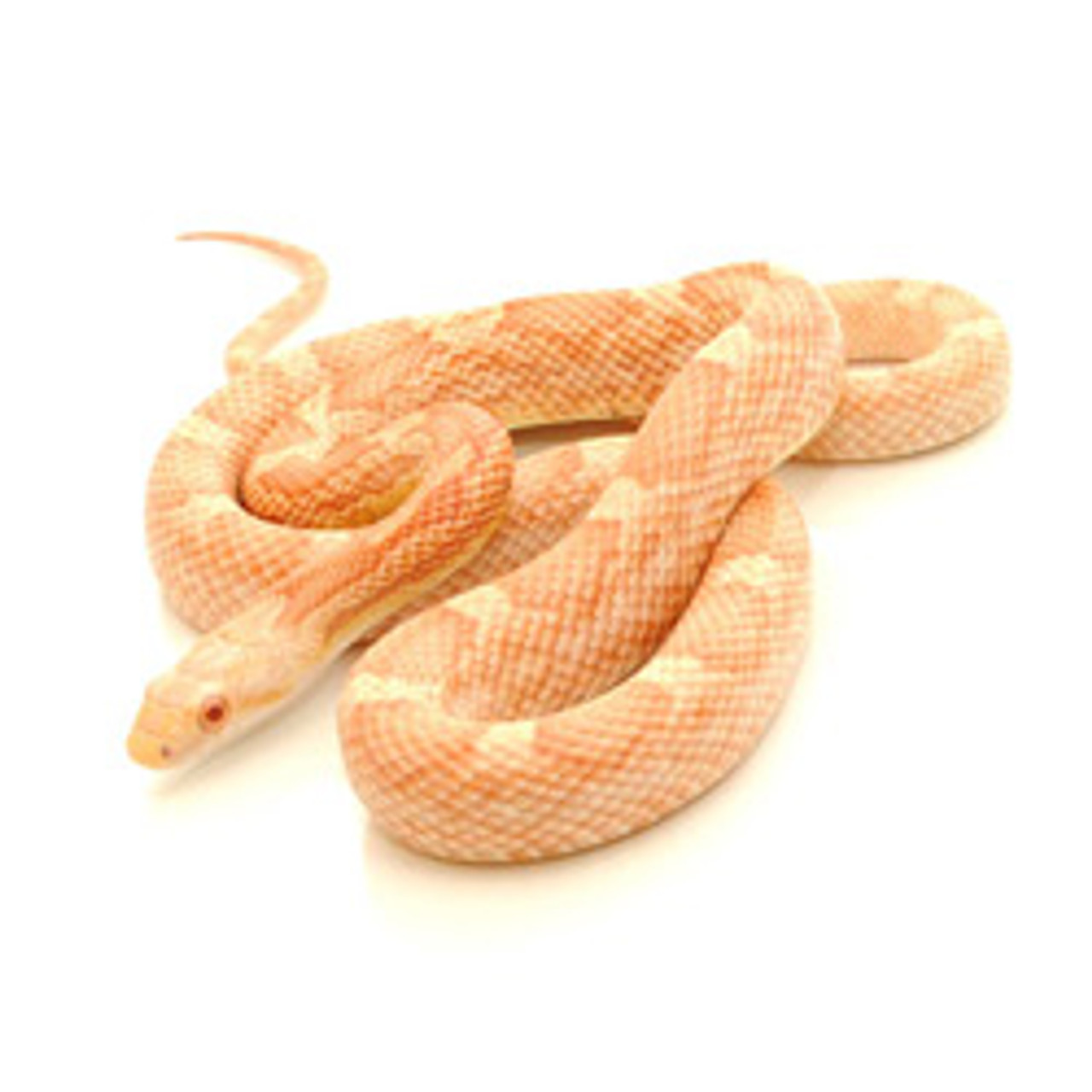 Albino Black Rat Snake (Pantherophis obsoletus)