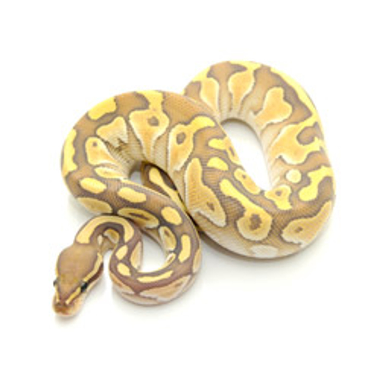 Butter Ghost Ball Python Female For Sale From Reptmart Com