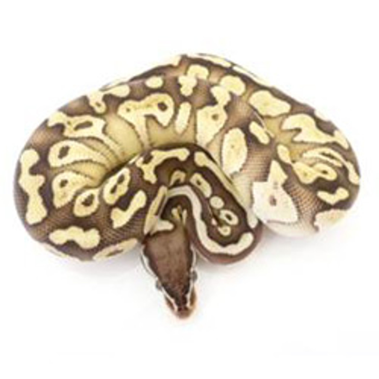 Pastel Butter Ball Python Female For Sale From Reptmart Com