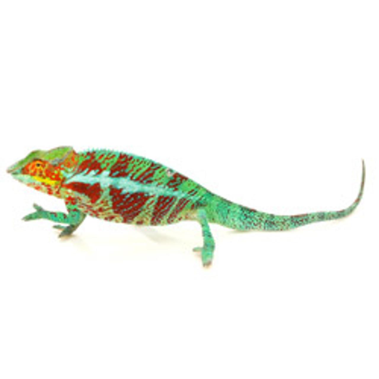 Ambanja Panther Chameleon (Fucifer pardalis)