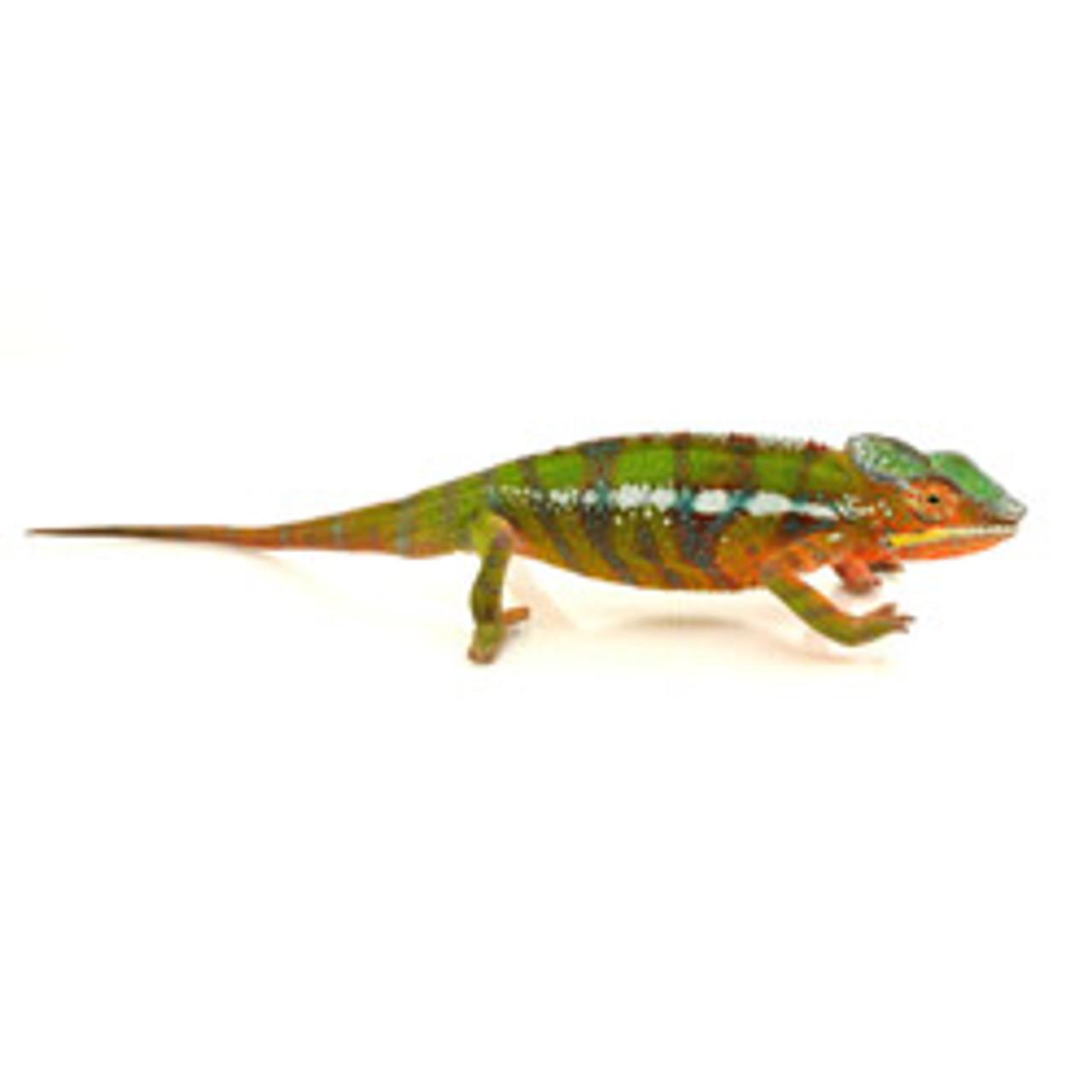 Ambilobe Panther Chameleon (Fucifer pardalis) Juvenile