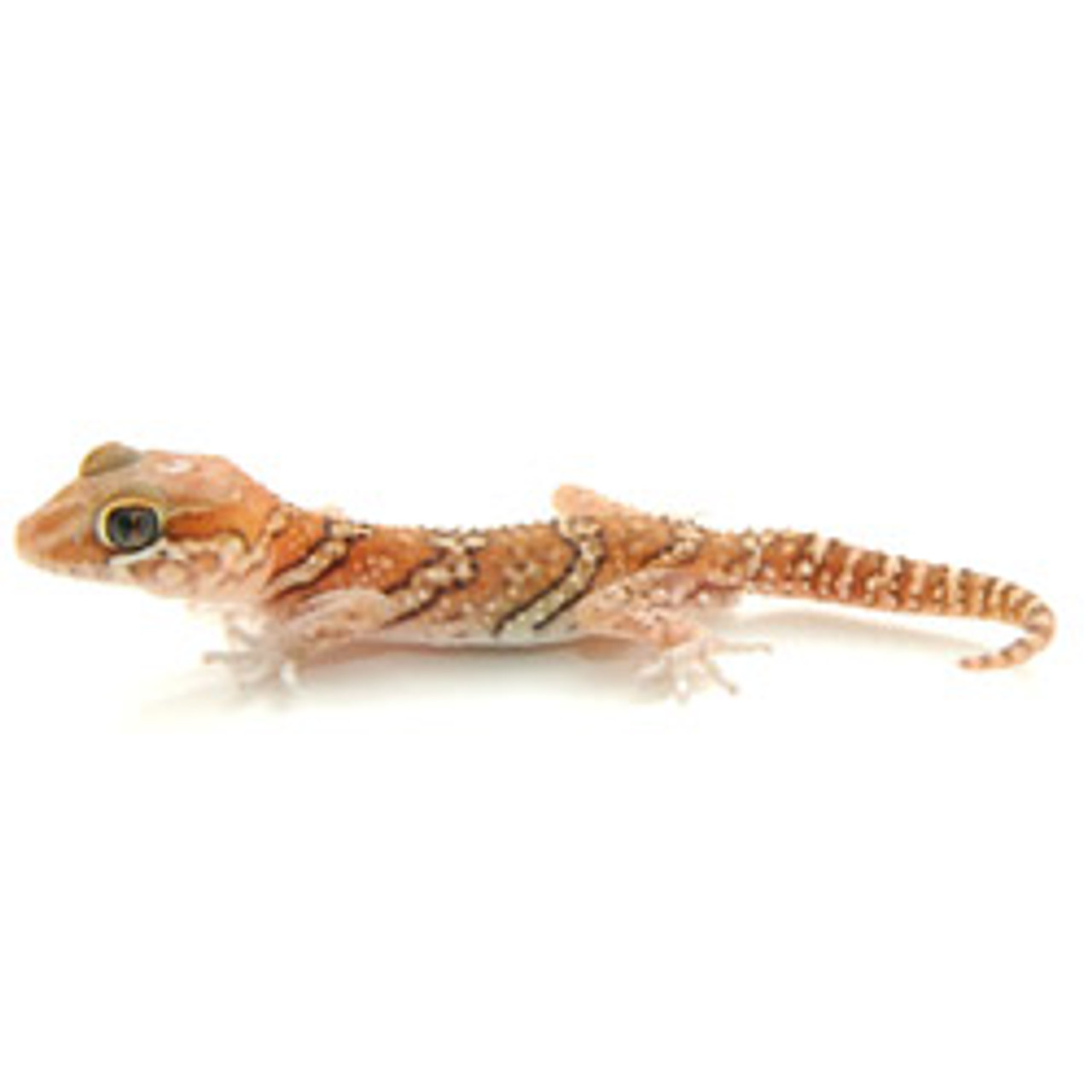 Banded Panther Gecko (Pareodura pictus) Baby