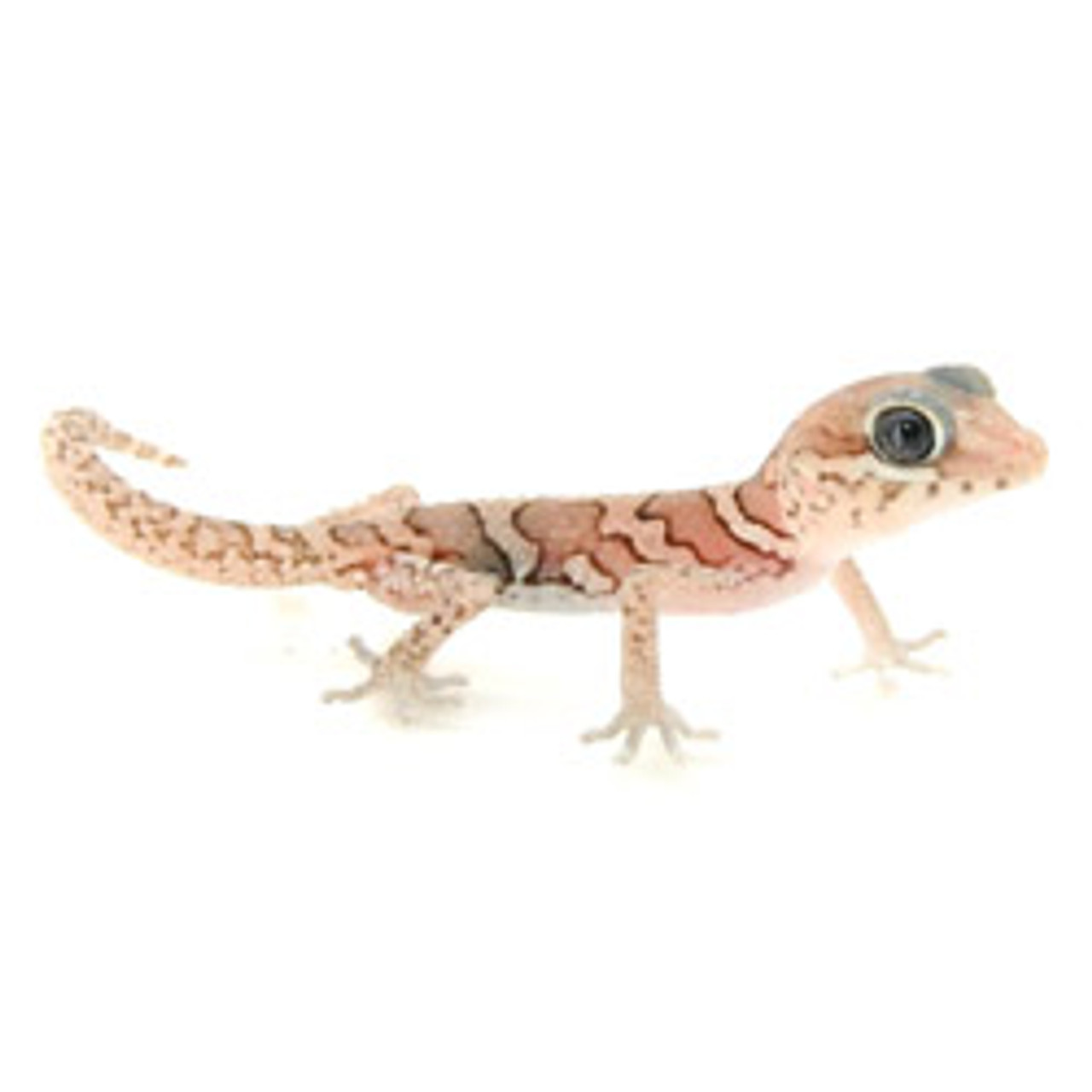 Anerythristic Panther Gecko (Pareodura pictus) Baby