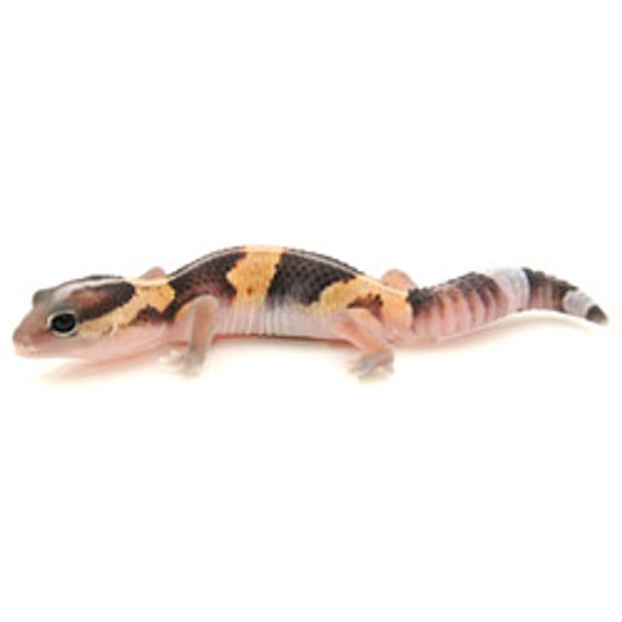 African Fat Tail Gecko  (Hemitheconyx caudicinctus) Striped Baby