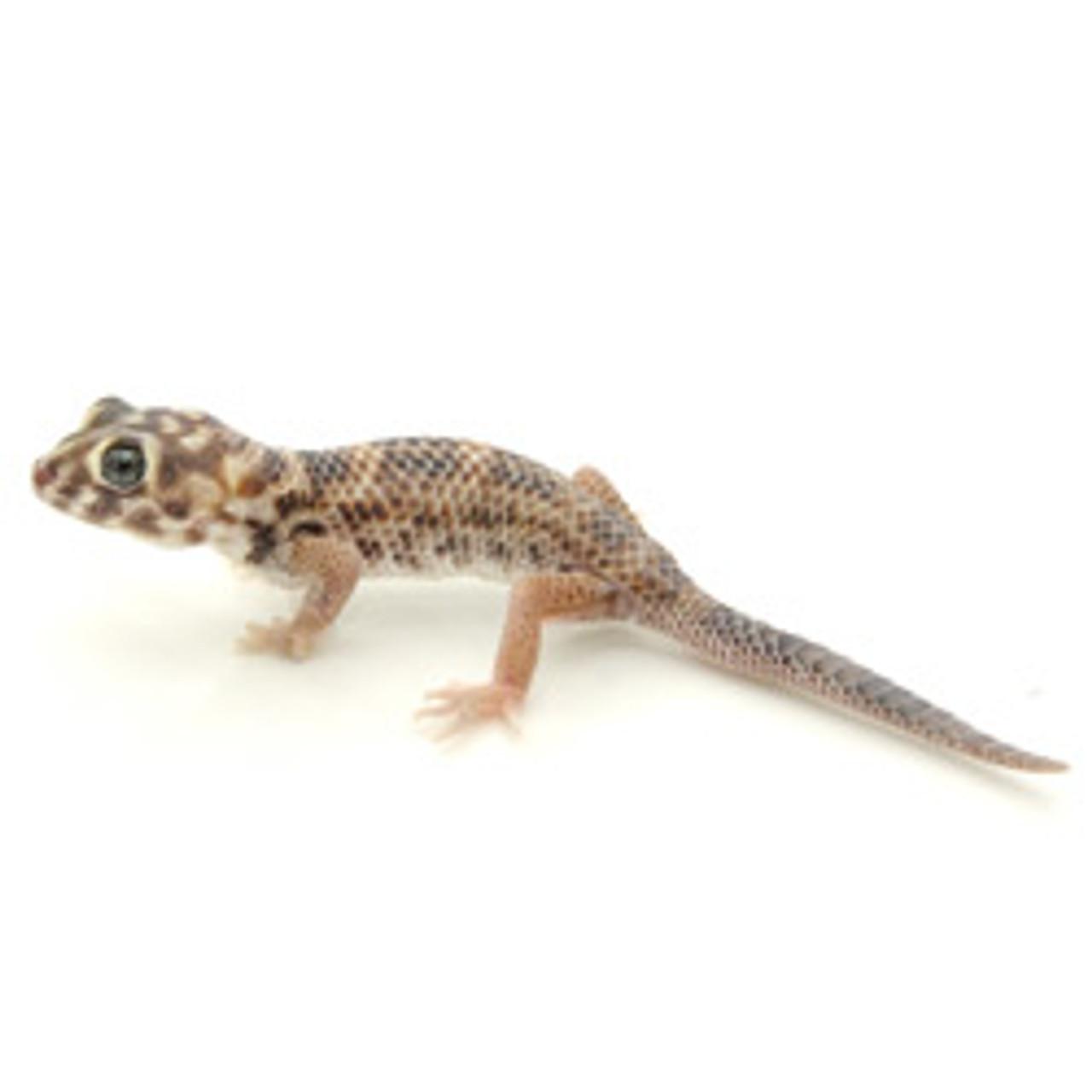 Frog Eye Gecko