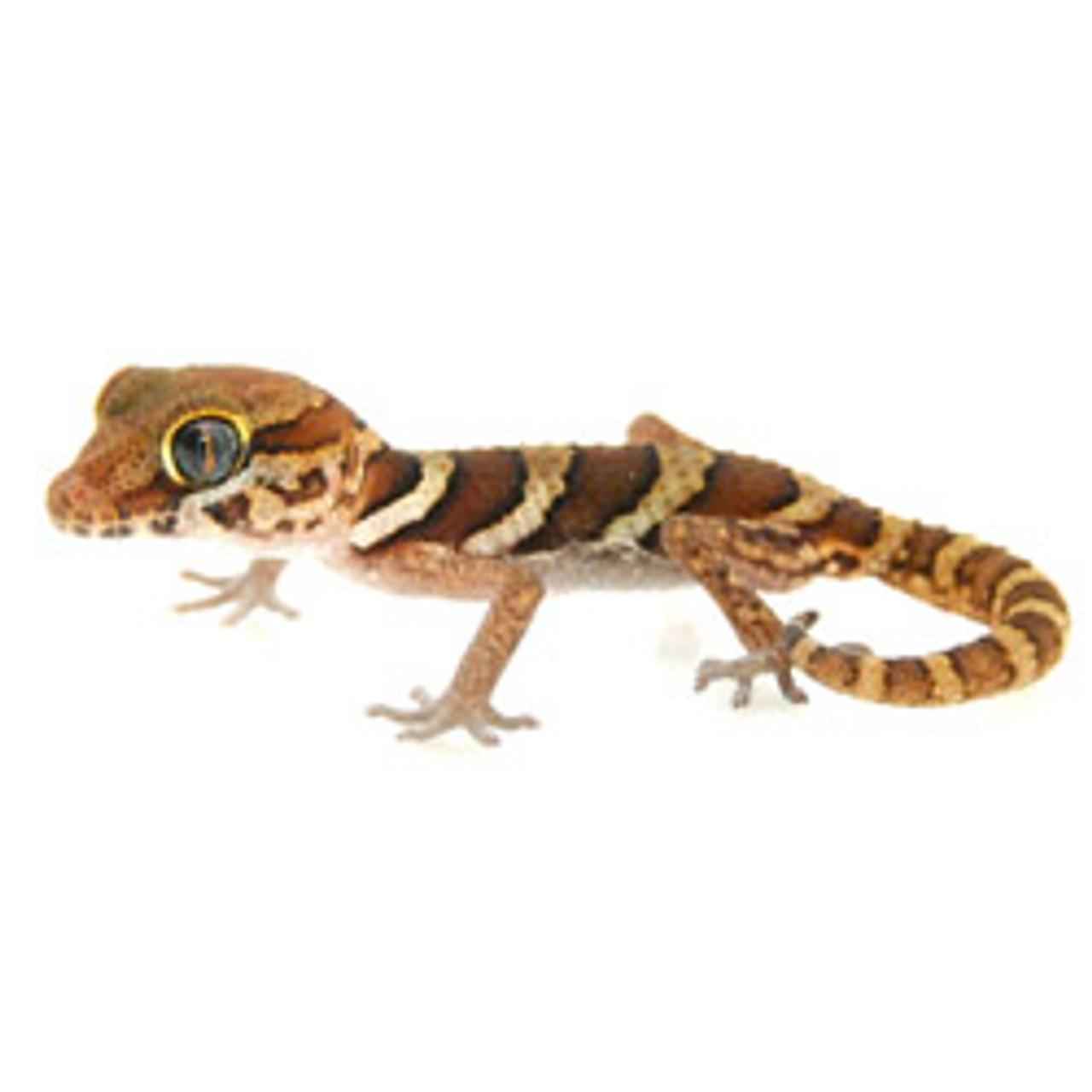 Panther Gecko (Pareodura pictus) Baby