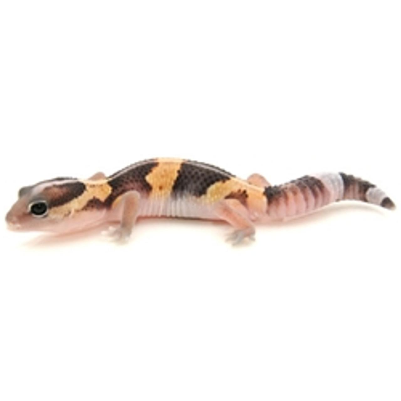 African Fat Tail Gecko (Hemitheconyx caudicinctus) Adult