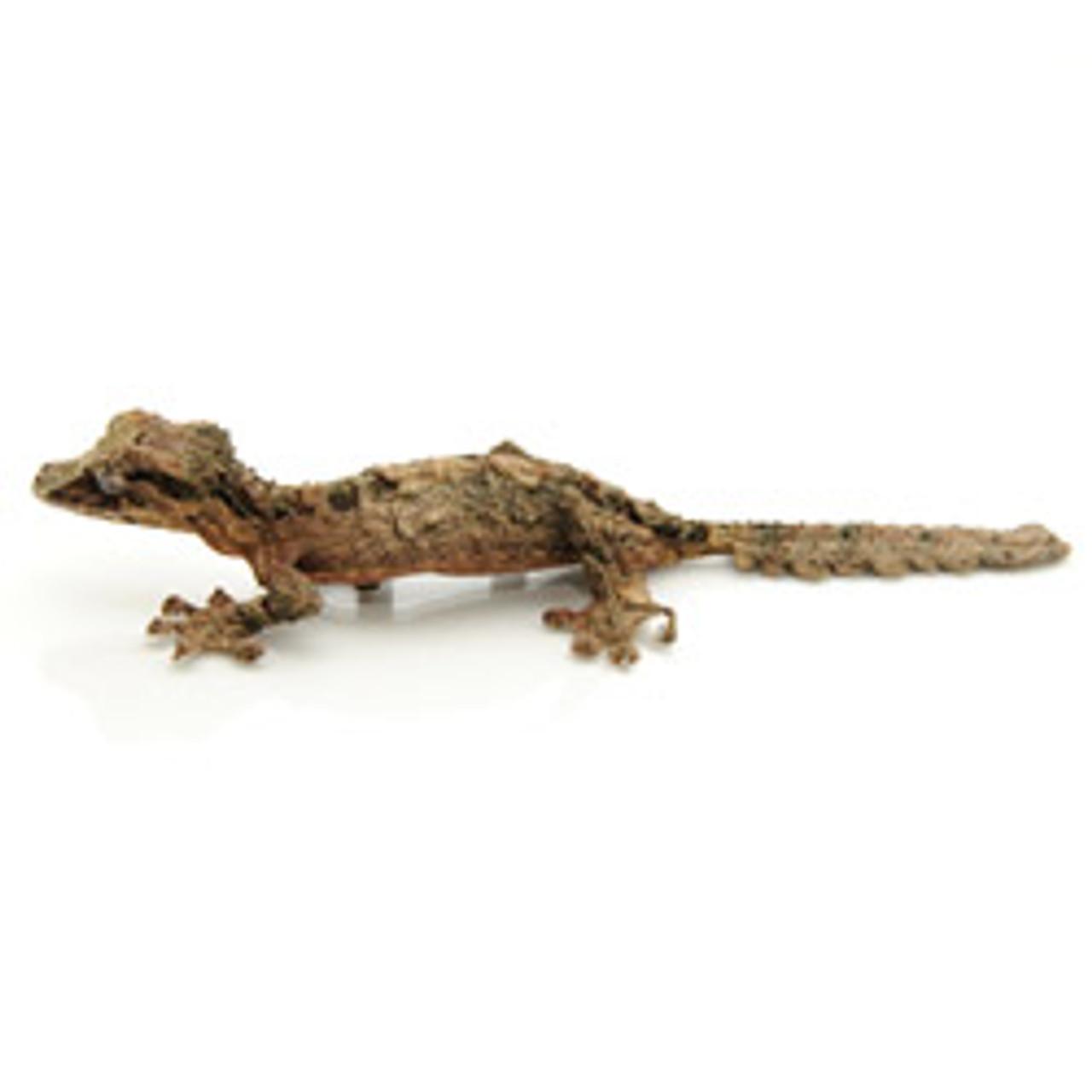 Cork Bark Gecko