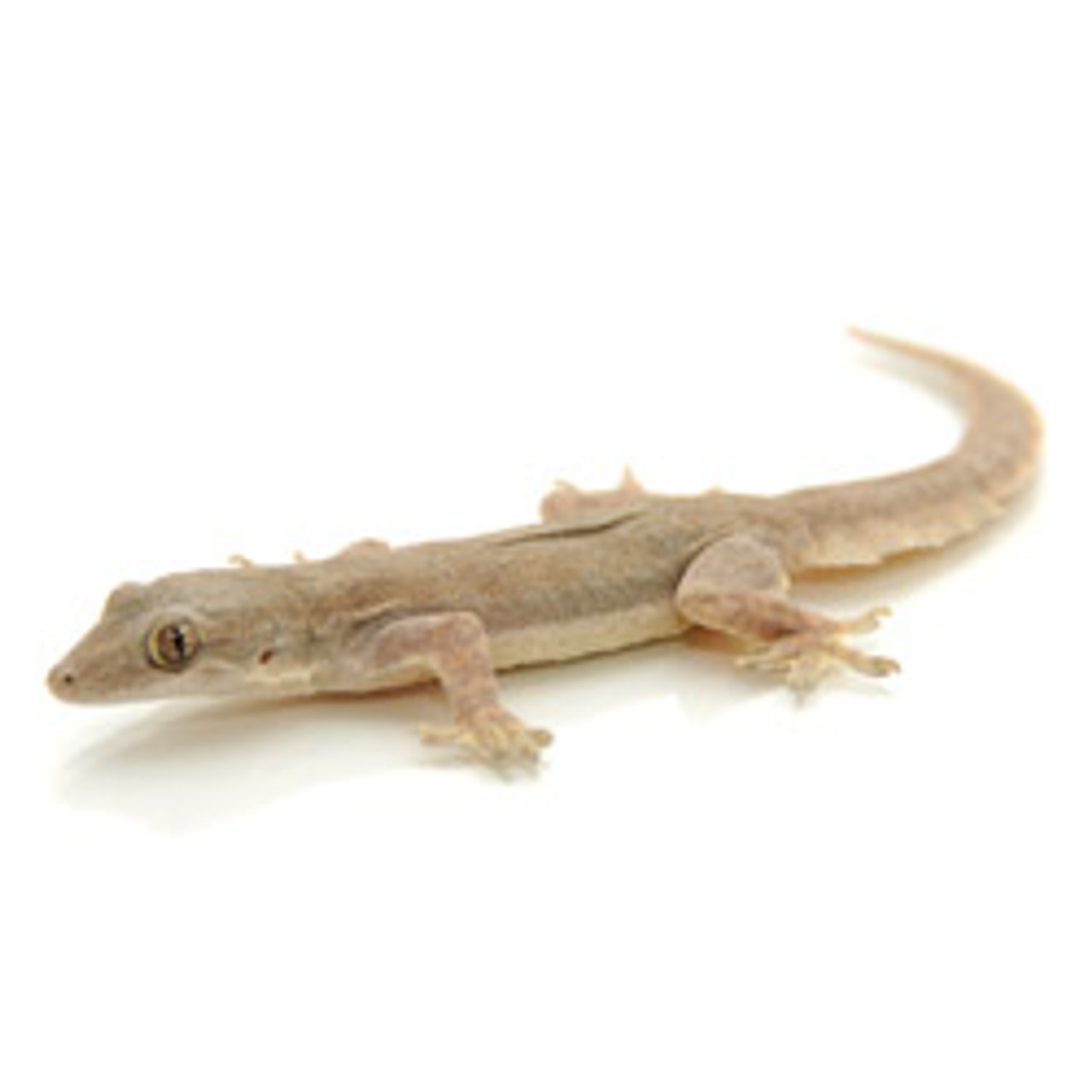 House Gecko (Hemidactylus frenatus)