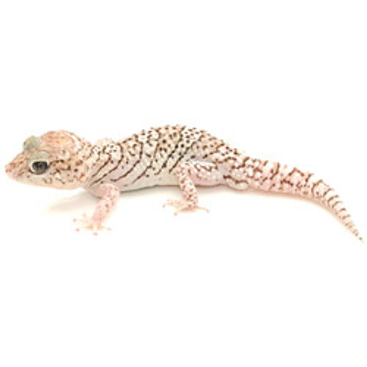 Anerythristic Panther Gecko (Pareodura pictus) Adult