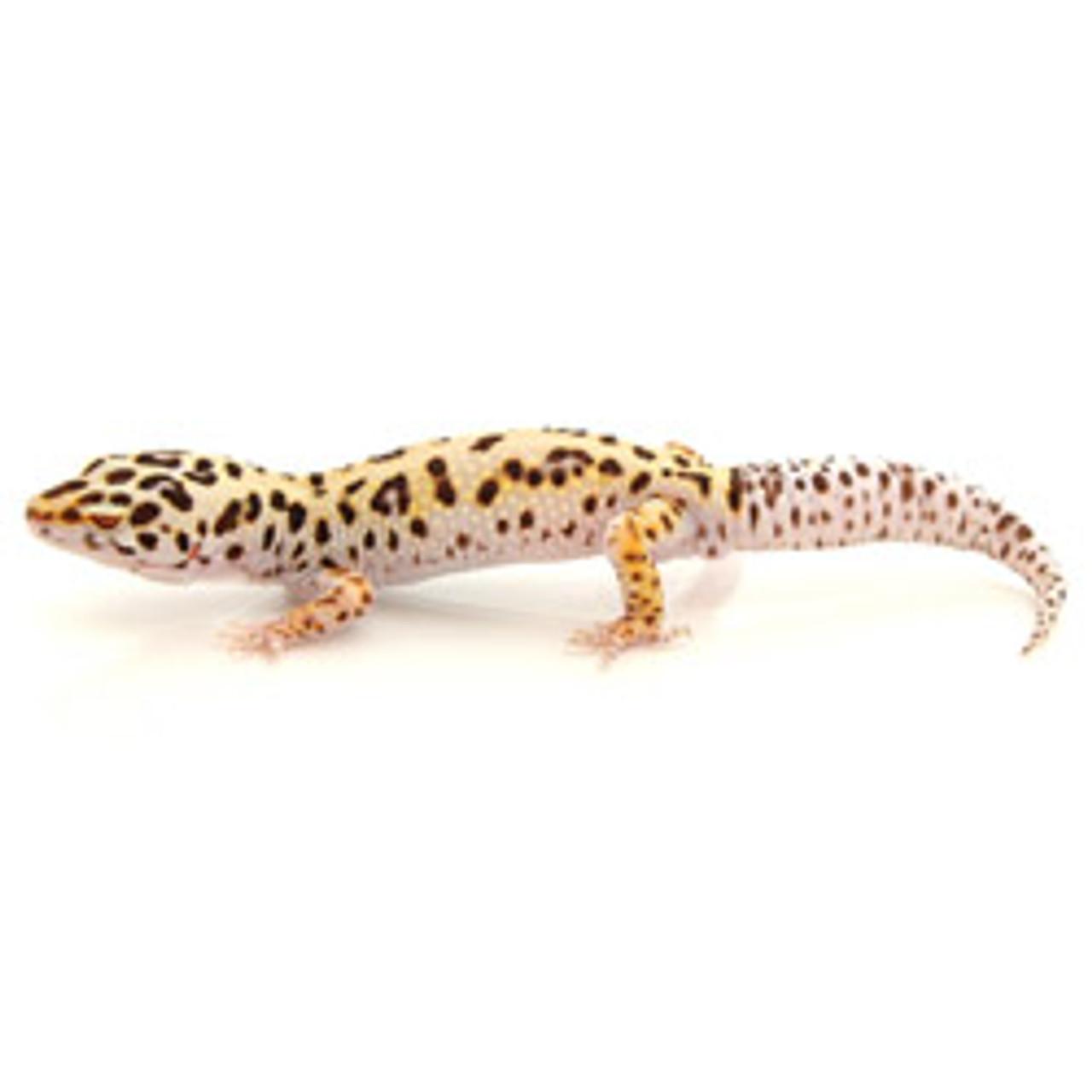 Bell Albino Enigma Leopard Gecko (Eublepharis macularius) Juvenile