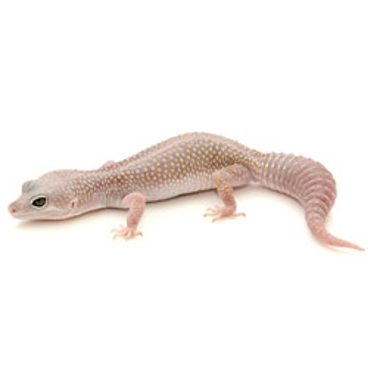 Blizzard Leopard Gecko (Eublepharis macularius) Adult