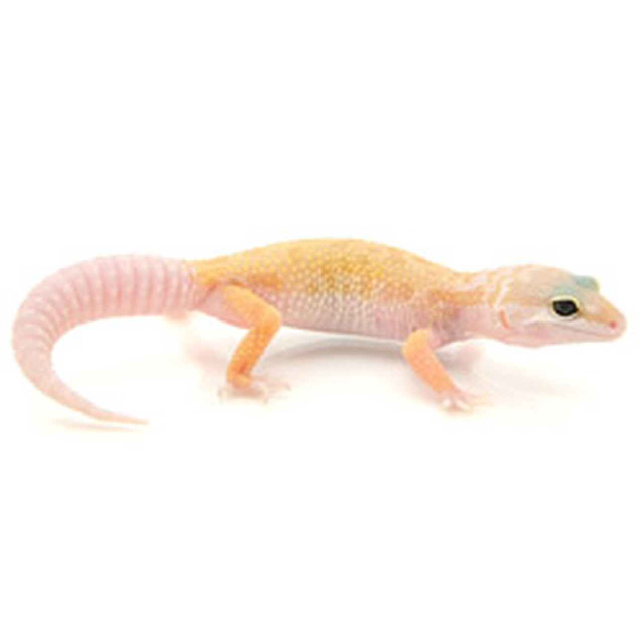 Leucistic Leopard Gecko (Eublepharis macularius) Juvenile