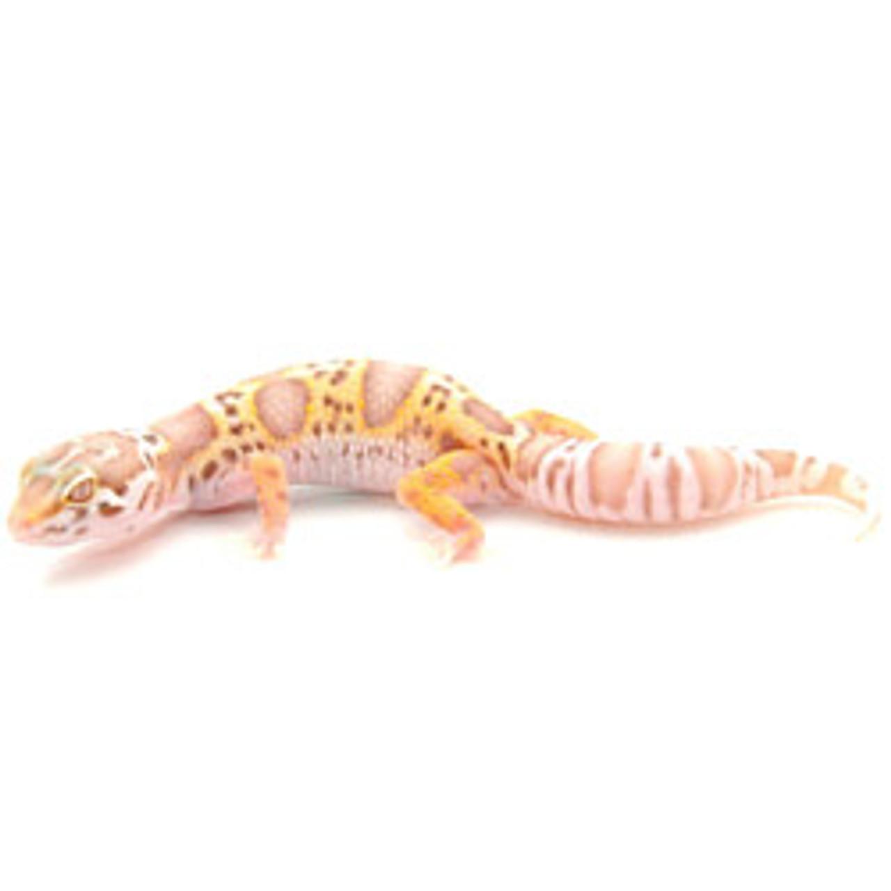 Mack Snow x Bell Albino Leopard Gecko (Eublepharis macularius) Juvenile