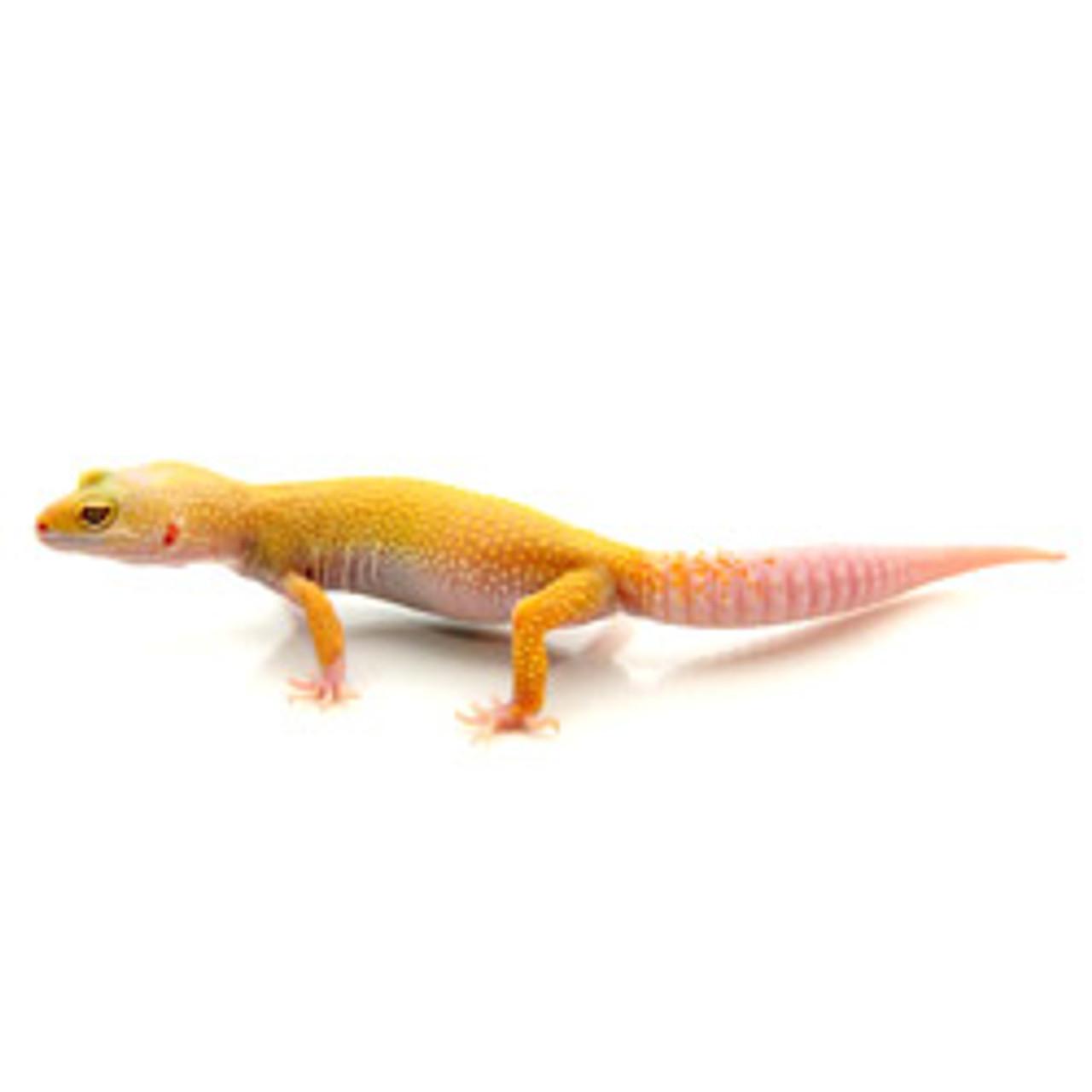 Albino Leucistic Leopard Gecko (Eublepharis macularius) Adult