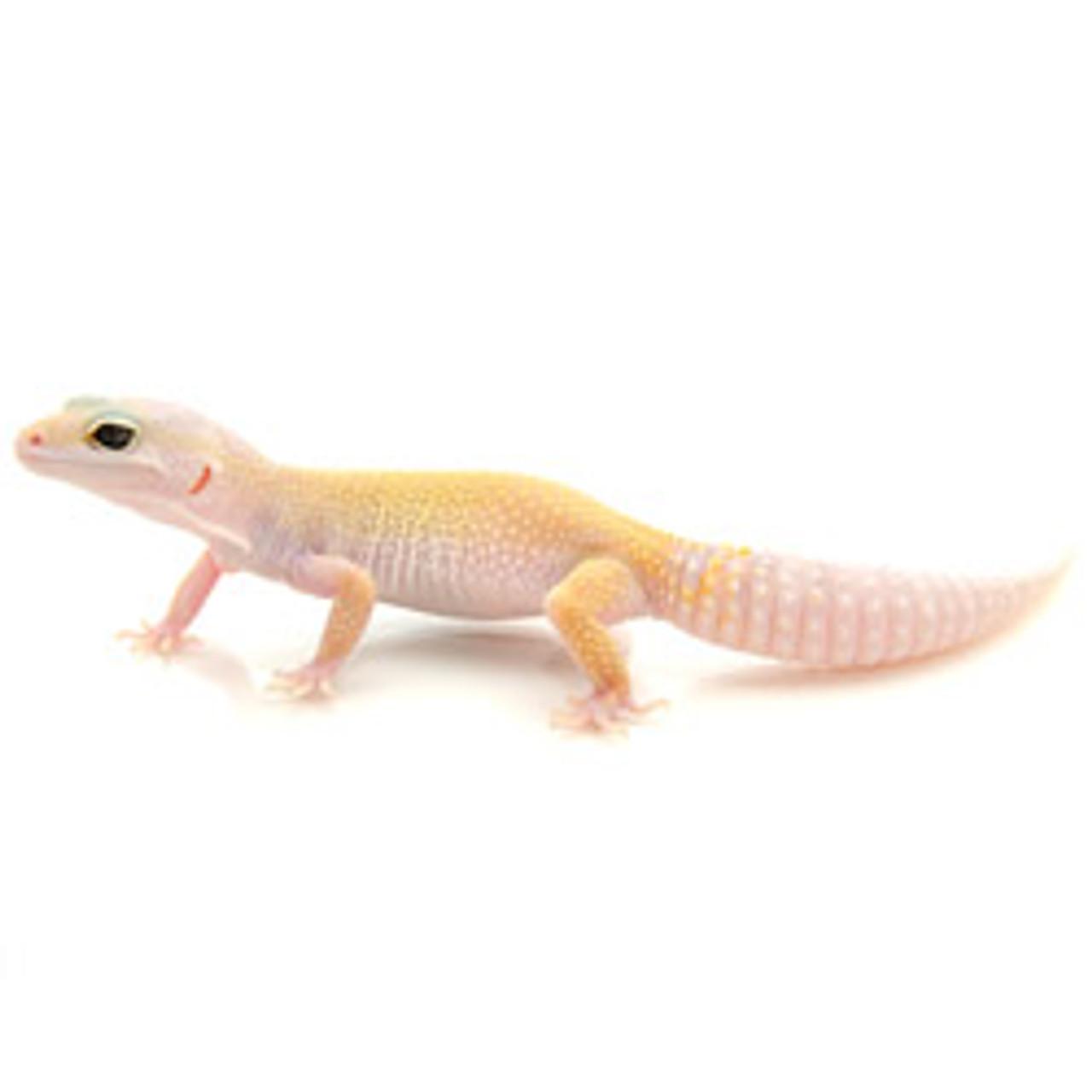 Leucistic Leopard Gecko (Eublepharis macularius) BABY