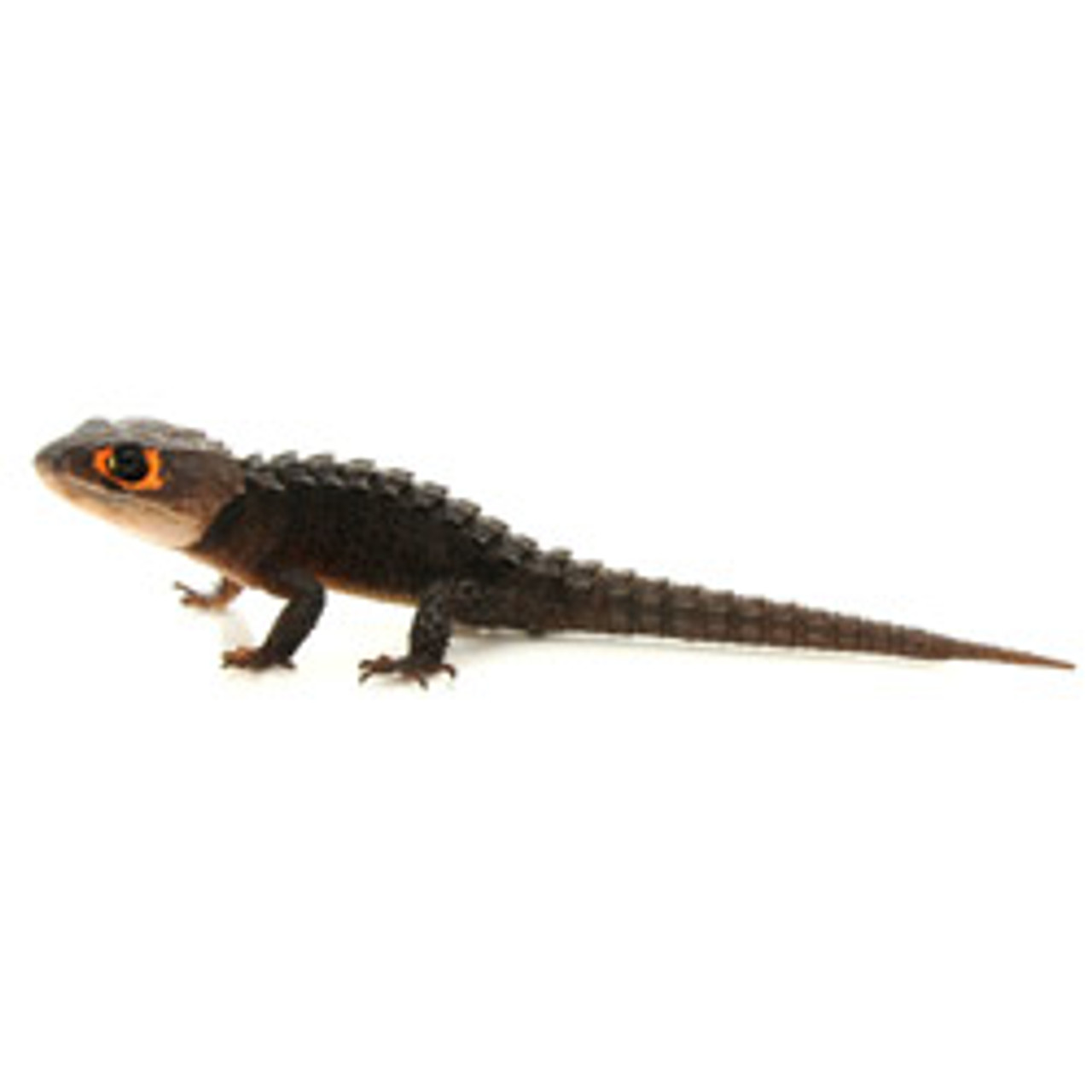 Red Eyed Armored Lizard (Tribolonotus gracilis)