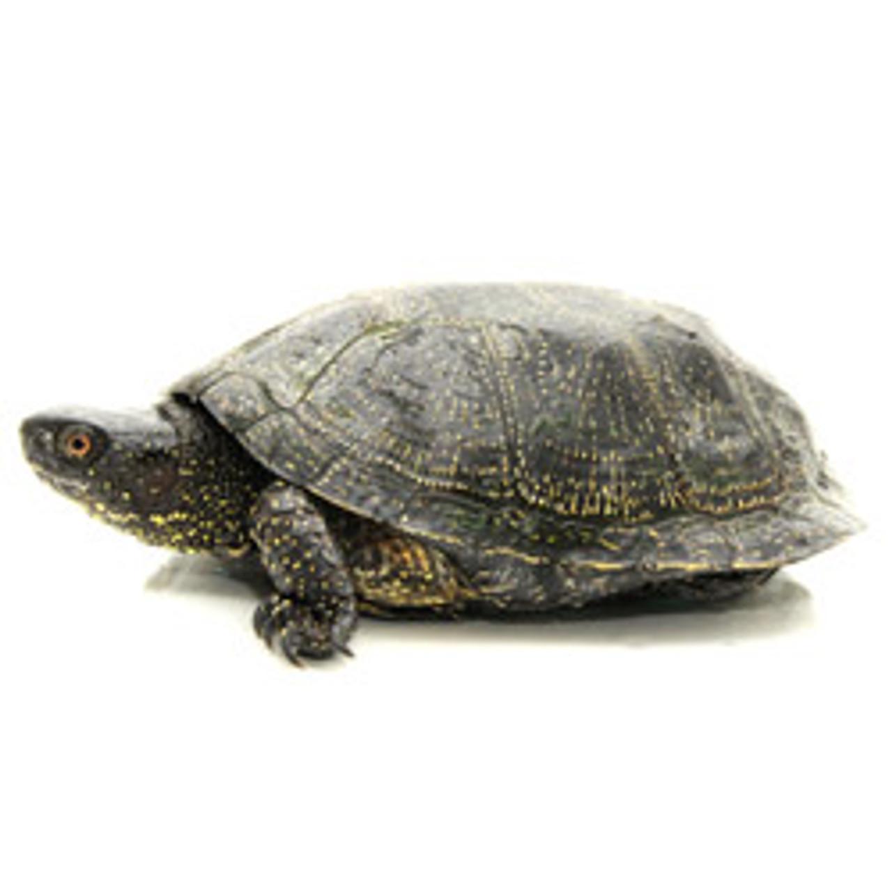 European Pond Turtle (Sub Adult)