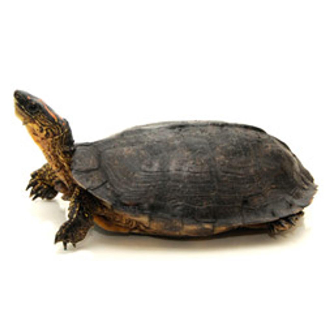 Surinam Wood Turtle (Rhinoclemmys punctularia)