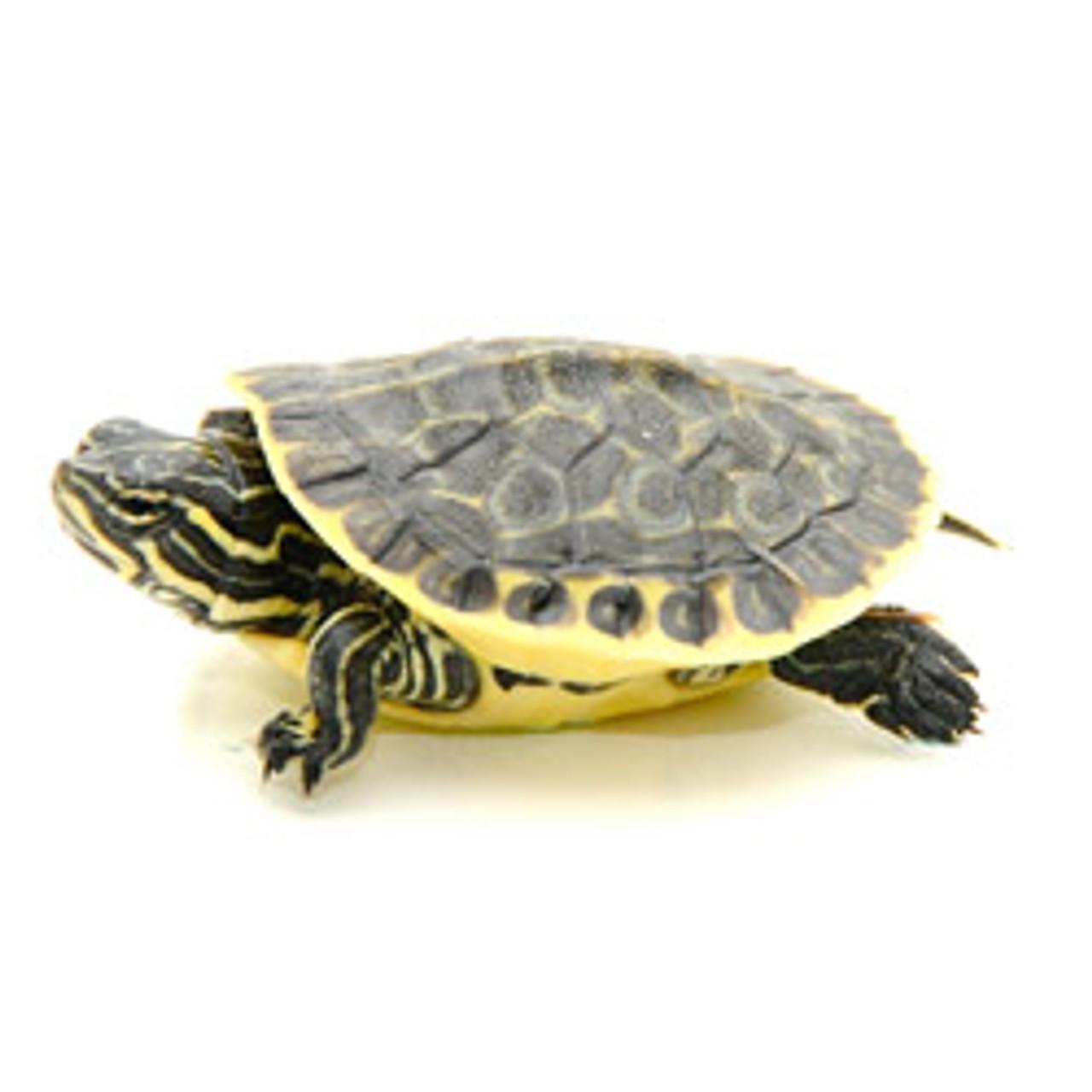 Chicken Turtle (Baby) (Deirochelys reticularia)