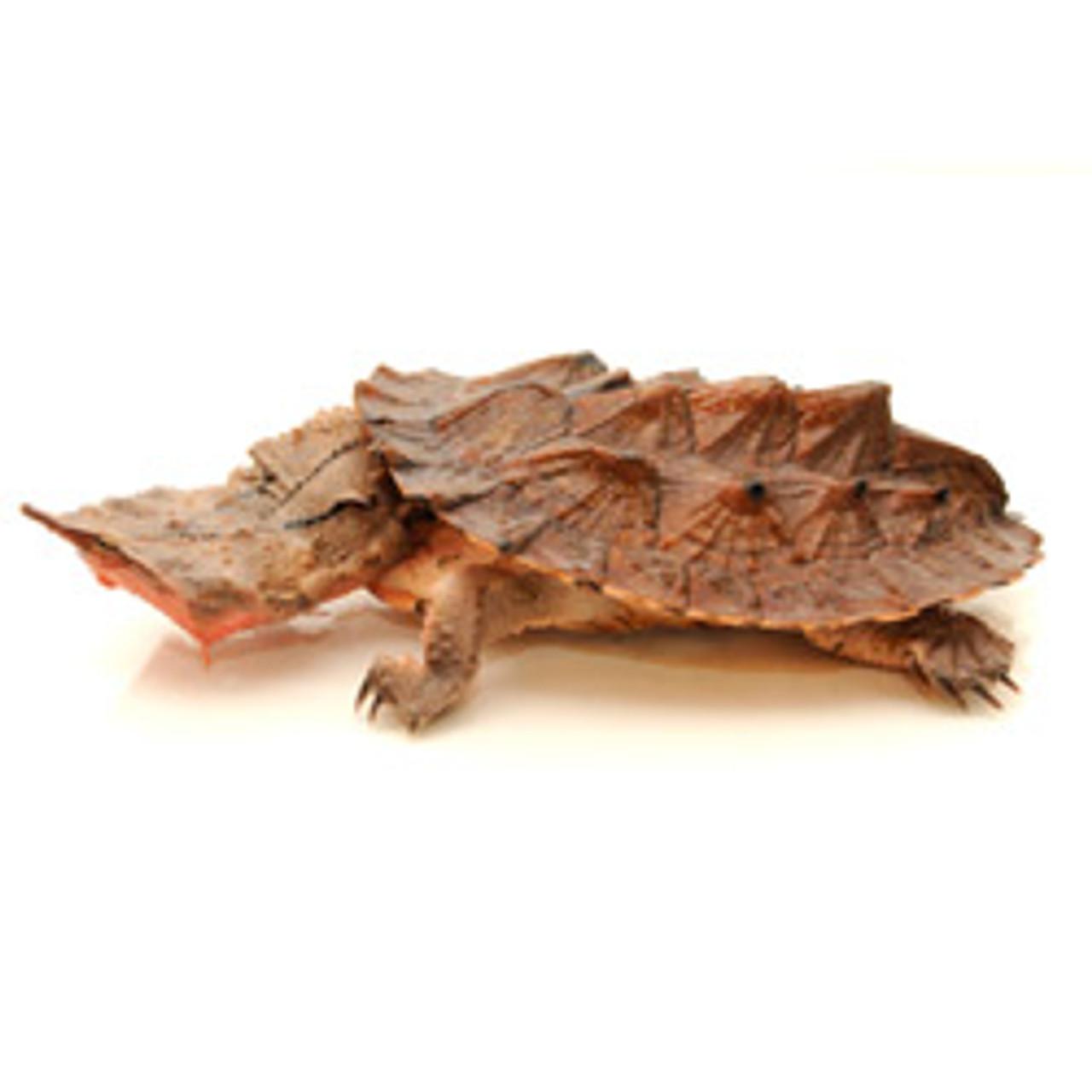 Mata Mata Turtle (Chelus fimbriata)