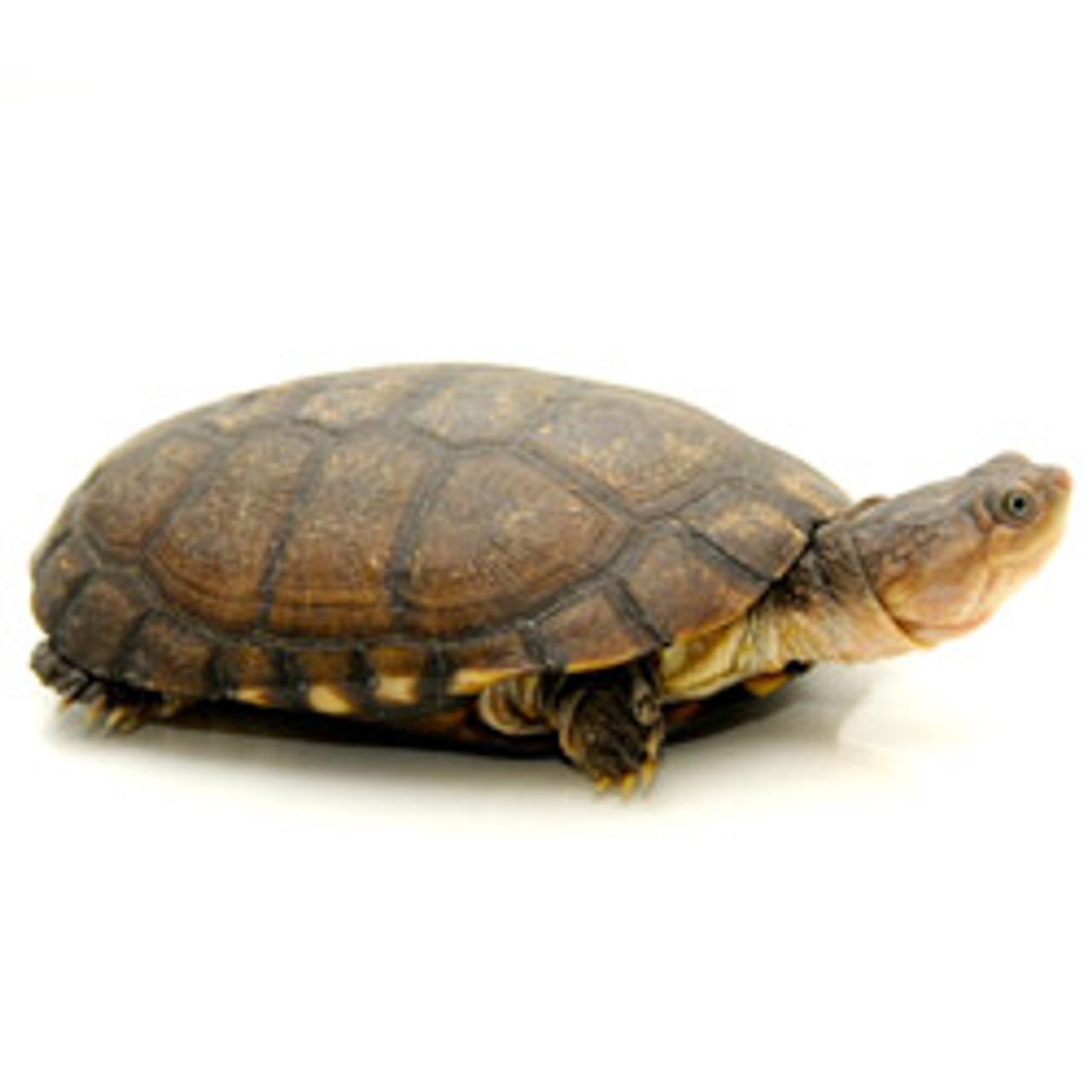 African Side-Neck Turtle (Pelusios castaneus/subrufa)