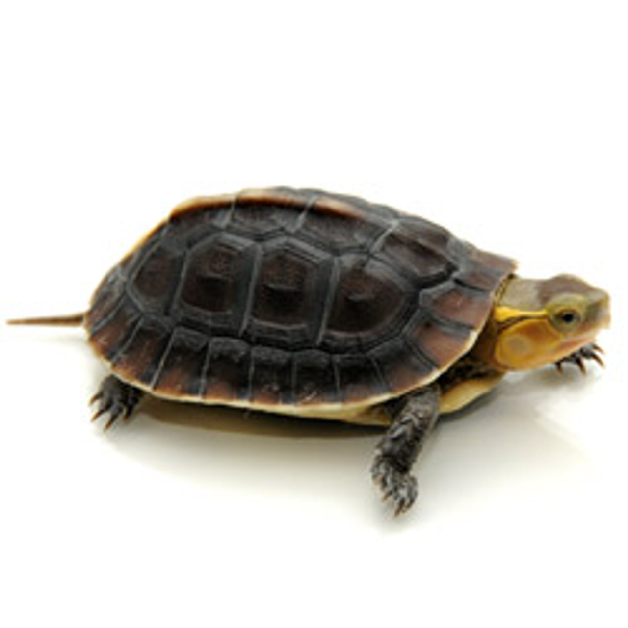 Asian Box Turtle (Coura amboinensis)