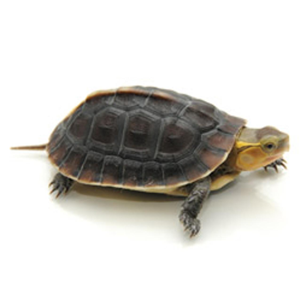 Chinese Box Turtle (Coura flavomarginata)