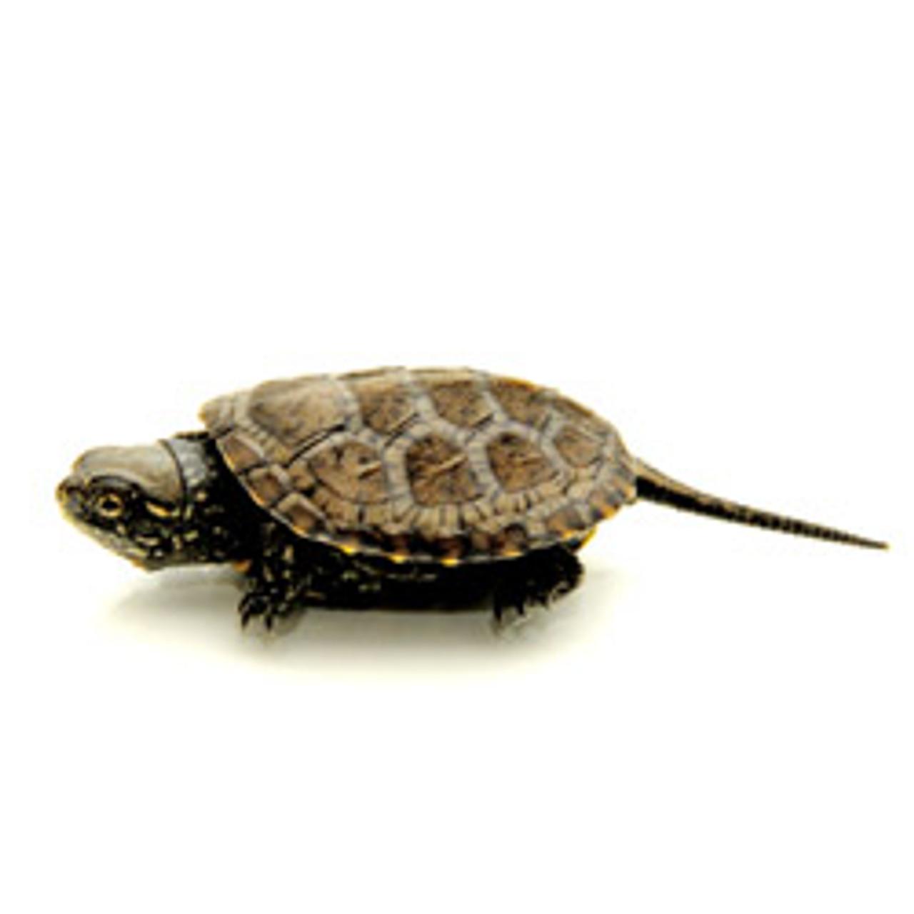 European Pond Turtle (Emys obicularis)