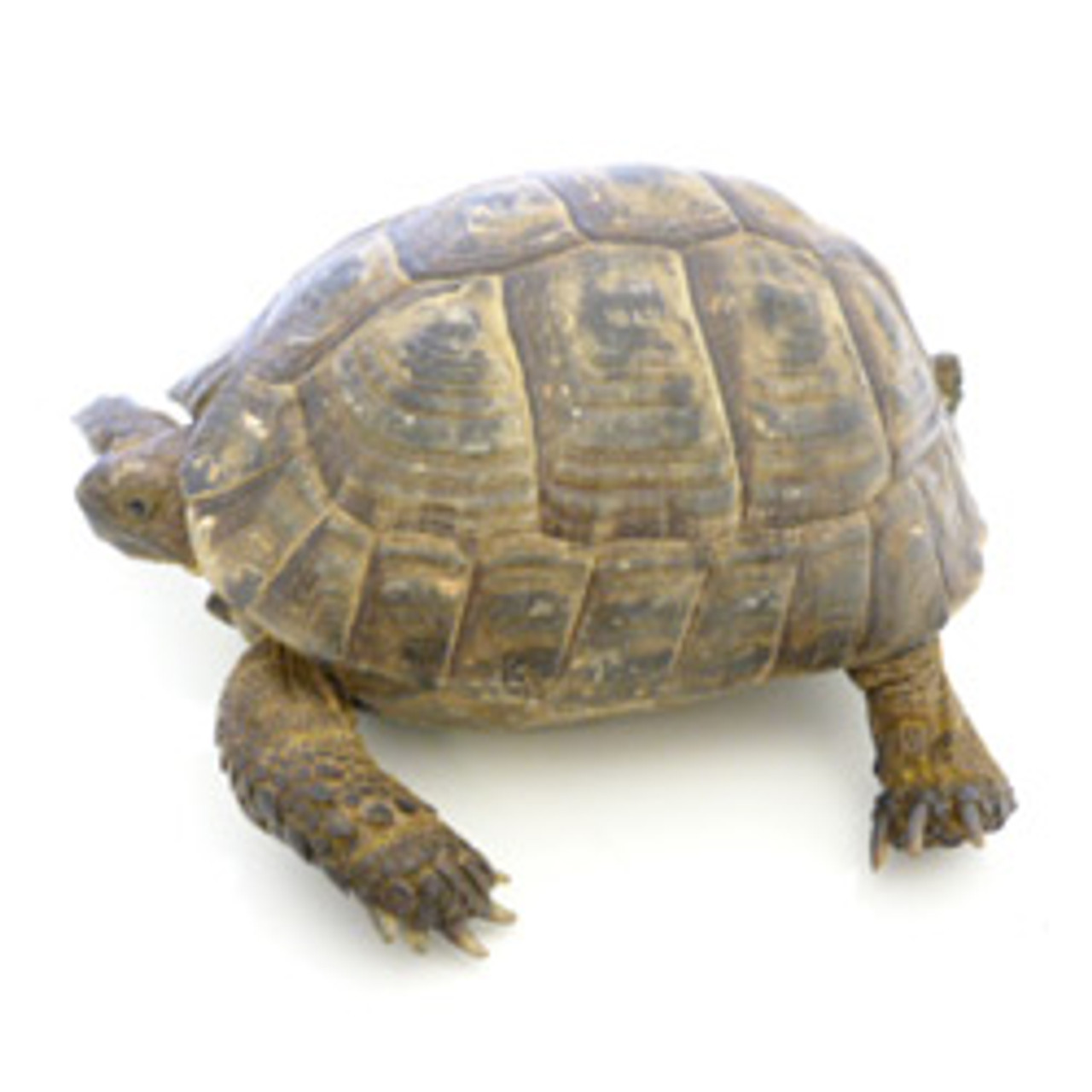 Black Greek Tortoise (Testudo graeca)