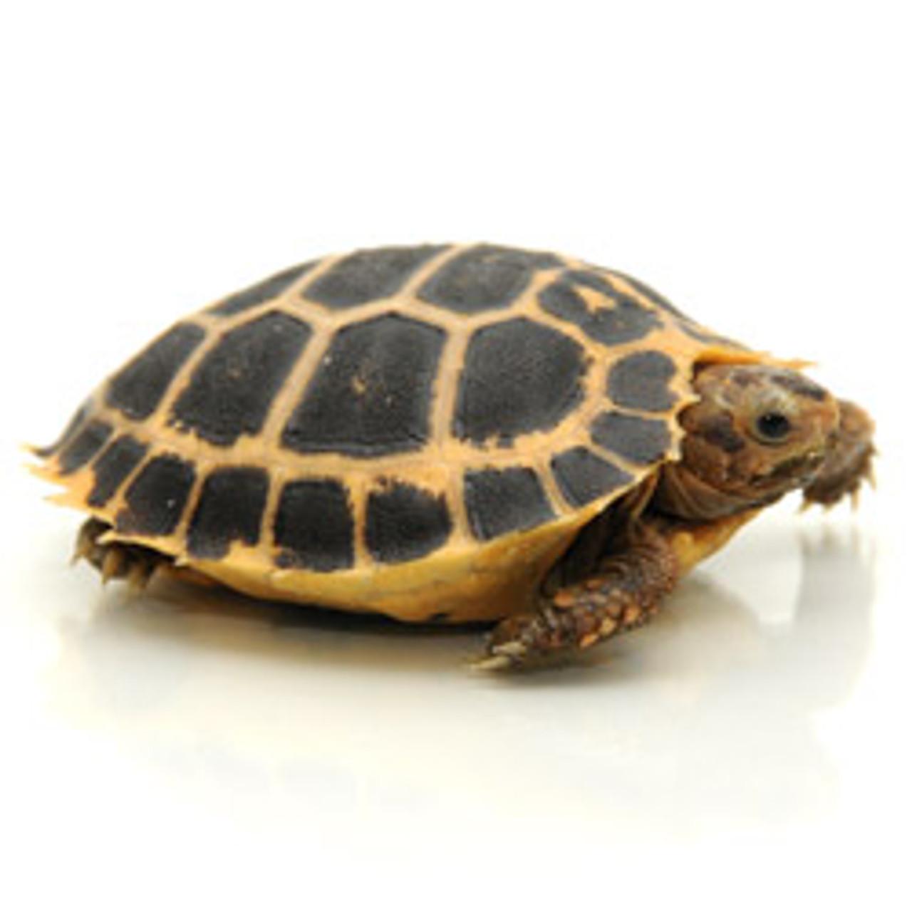Forsten's Tortoise (Indotestudo forsteni)