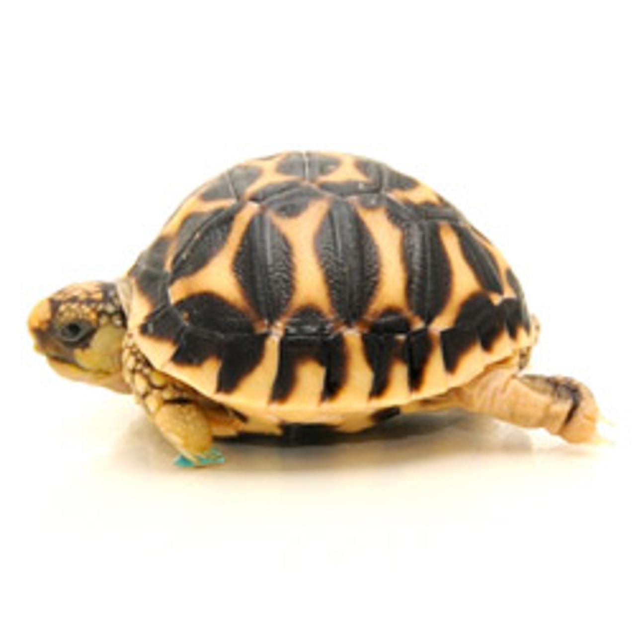 Star Tortoise (Geochelone elegans)
