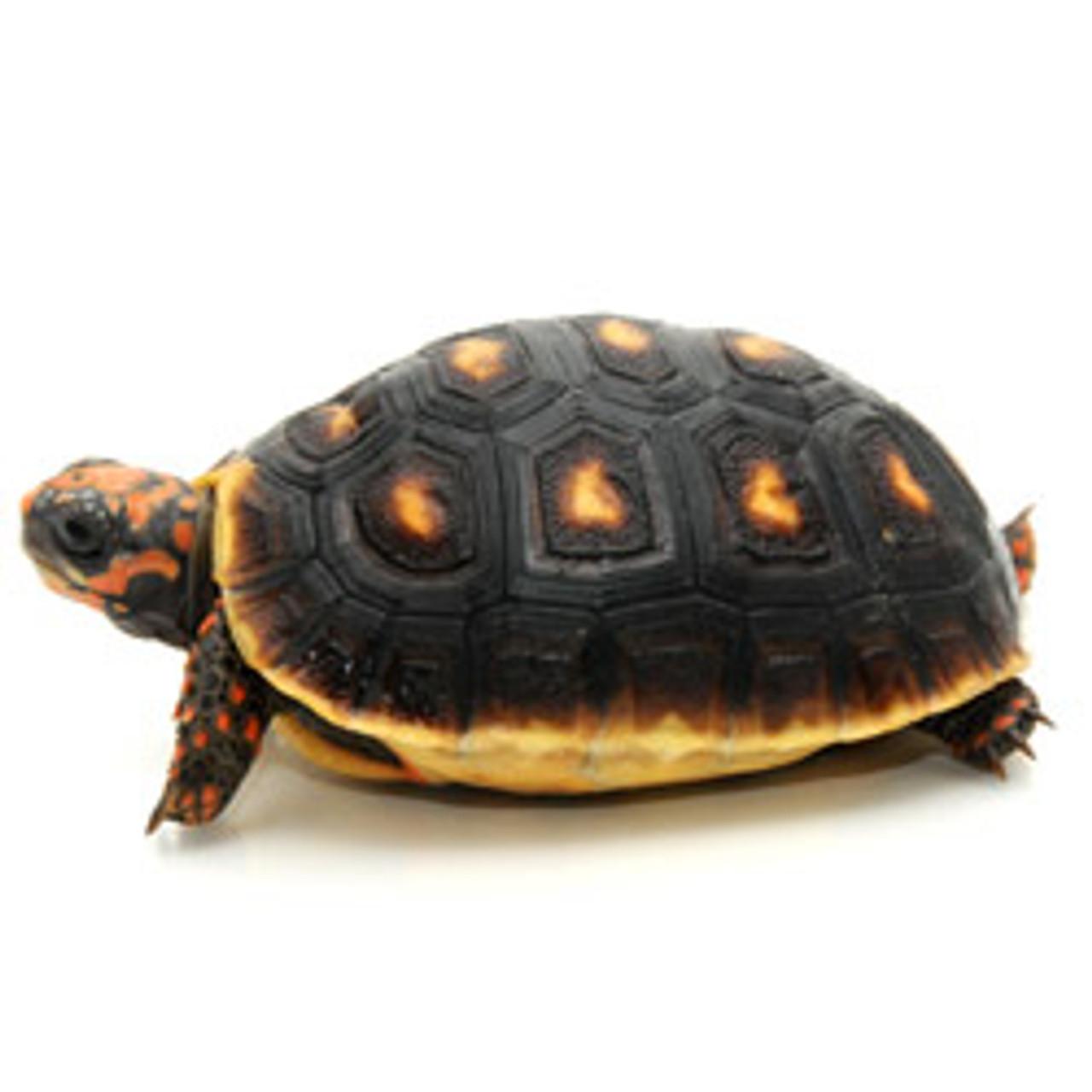 Grenada Island Redfoot Tortoise