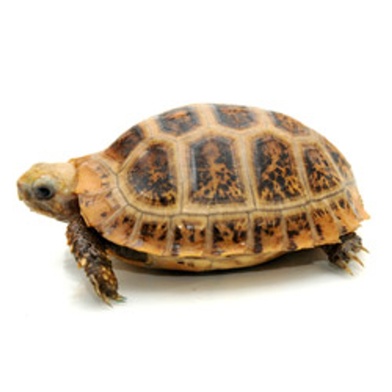 Travancore Hybrid Tortoise (Indotestudo forsteni x travancorica)