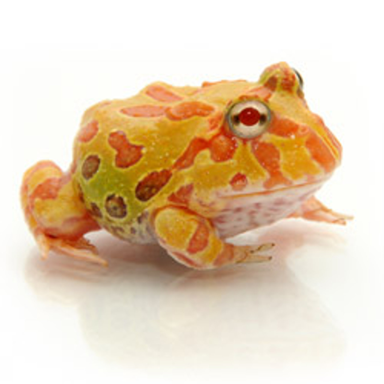 Albino PacMan Frog (Ceratopryhs cranwelli)