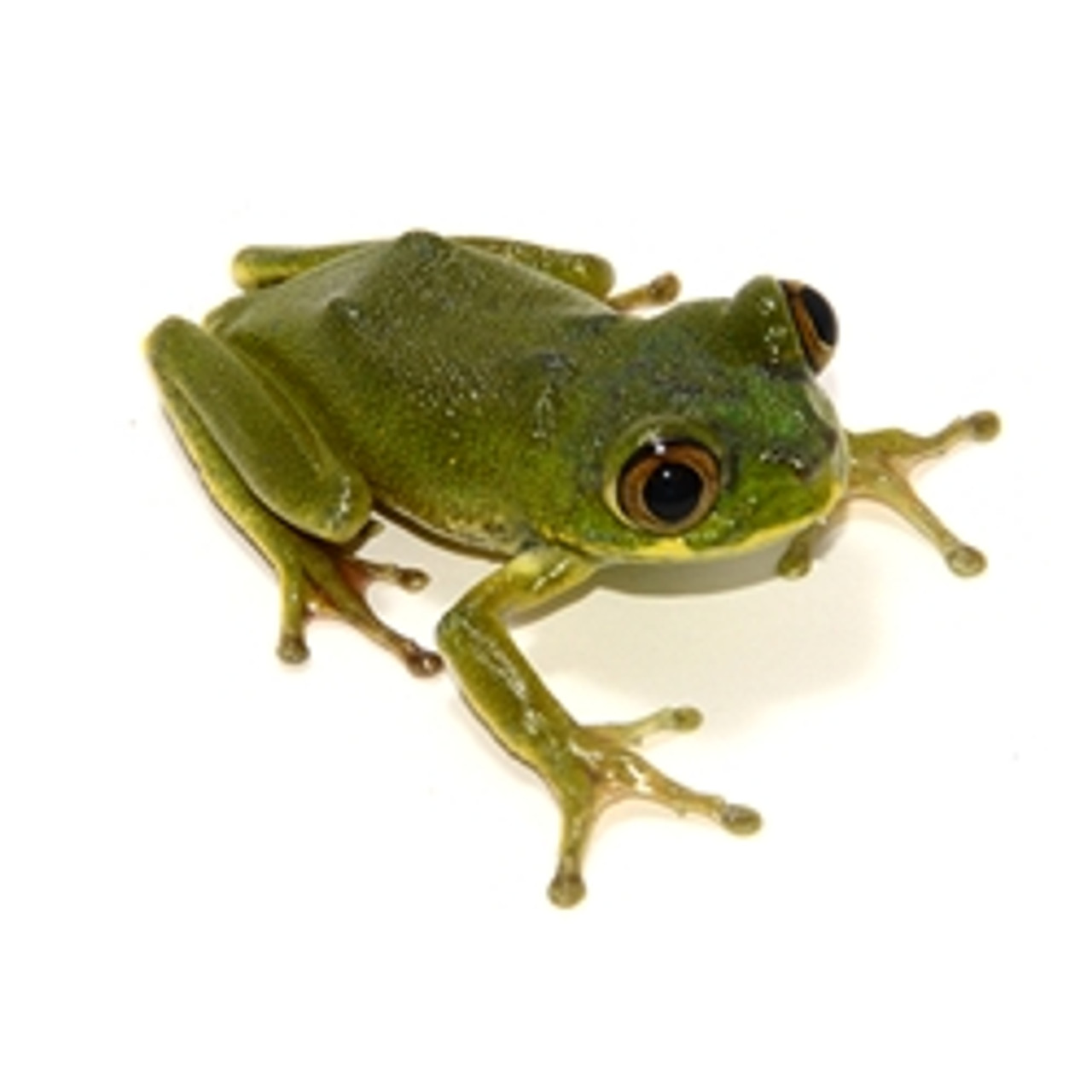 Big Eye Tree frog