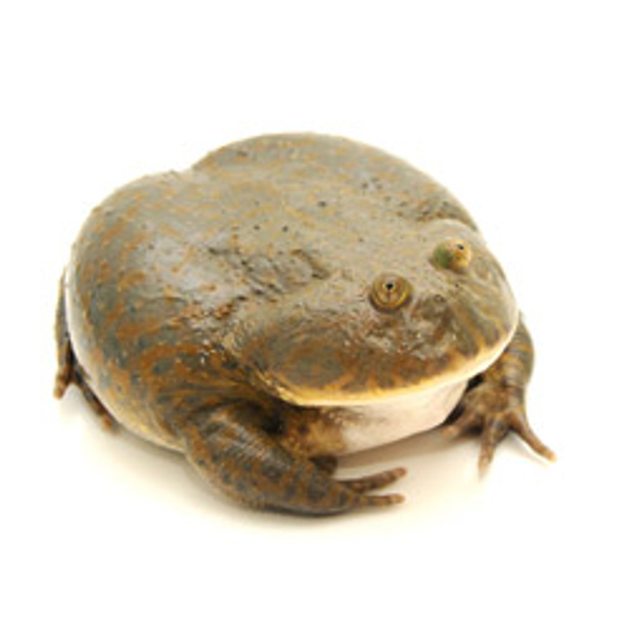 Budgett's Frog (Adults)