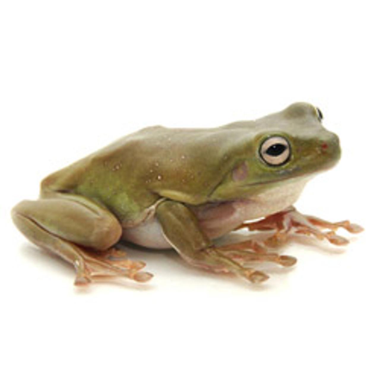 Dumpy / White's Tree Frog (Litoria caruela) Adult