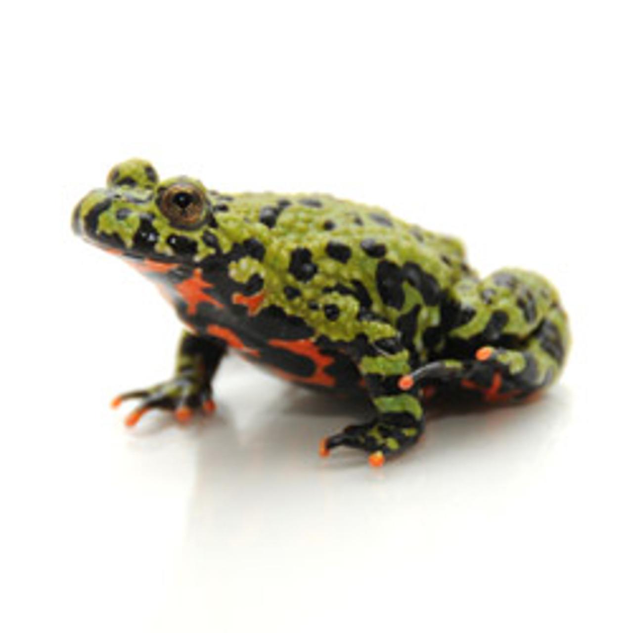 Firebelly Toad (Bombina orientalis)