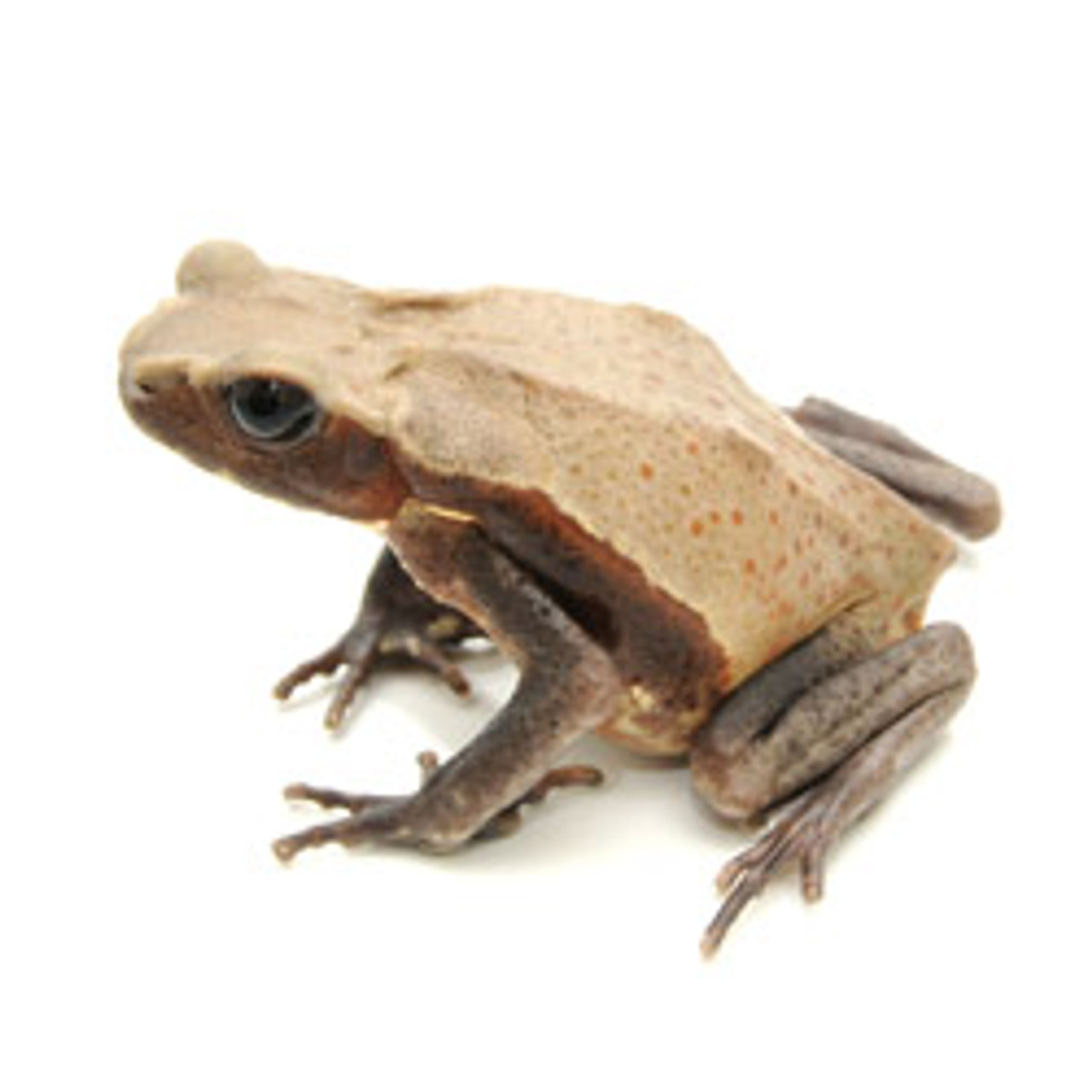 Giant Spotted Toad (Bufo guttata) (Baby)