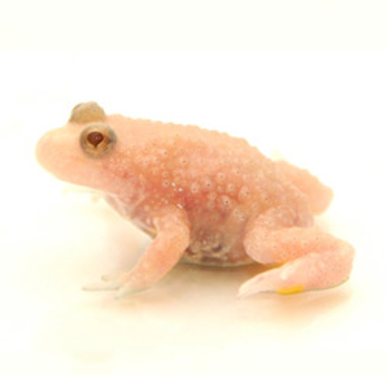 Albino Firebelly Toad (Bombina orientalis)