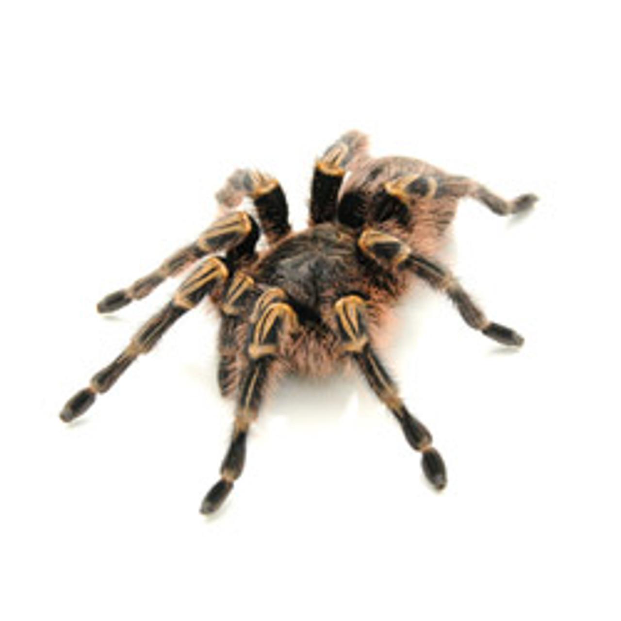 Choco Goldstripe Tarantula-Lg