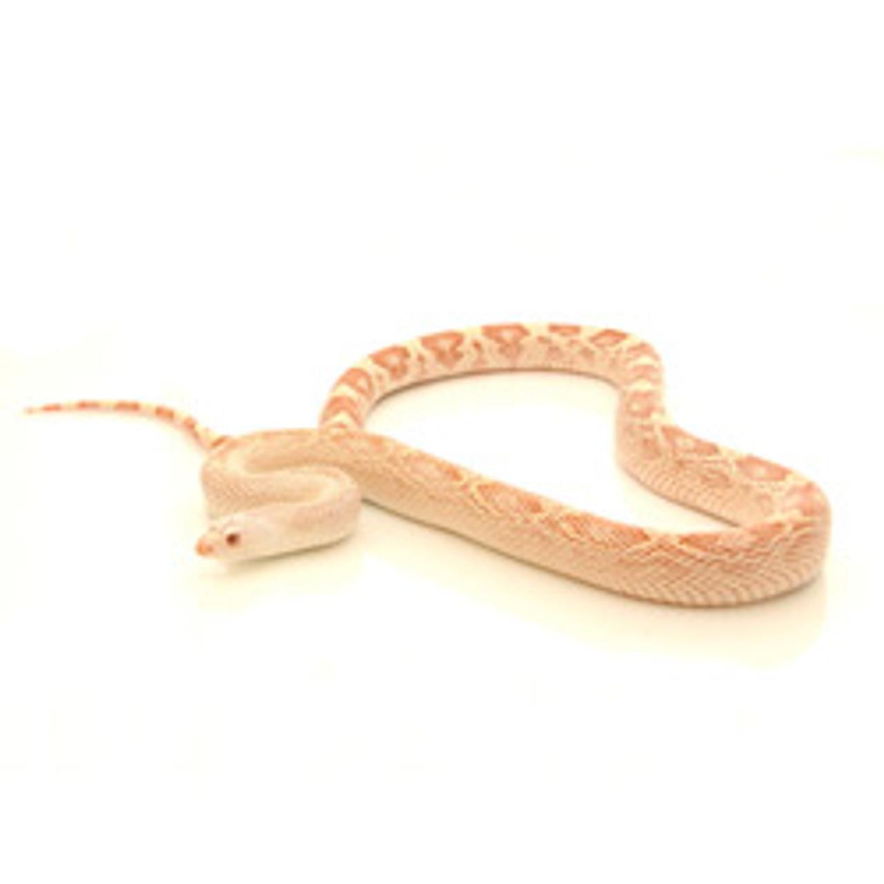 Albino Pine Snake (Pituophis melanoleucus)