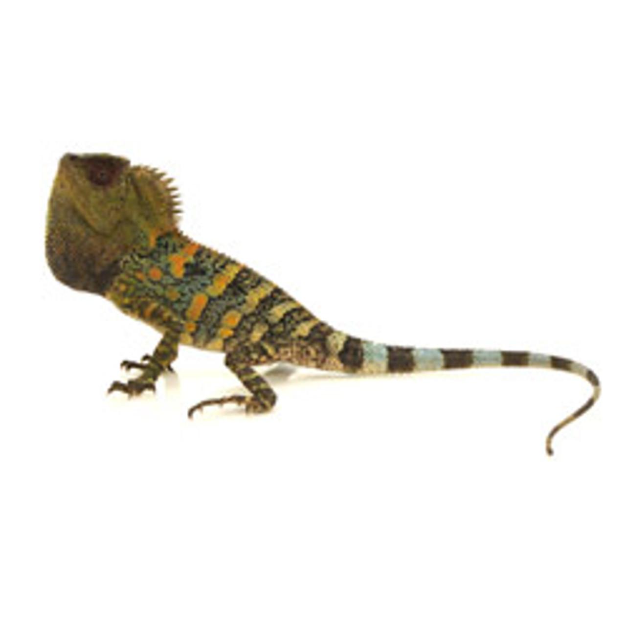 Crested River Dragon (Gonocephalus chameleonitus)