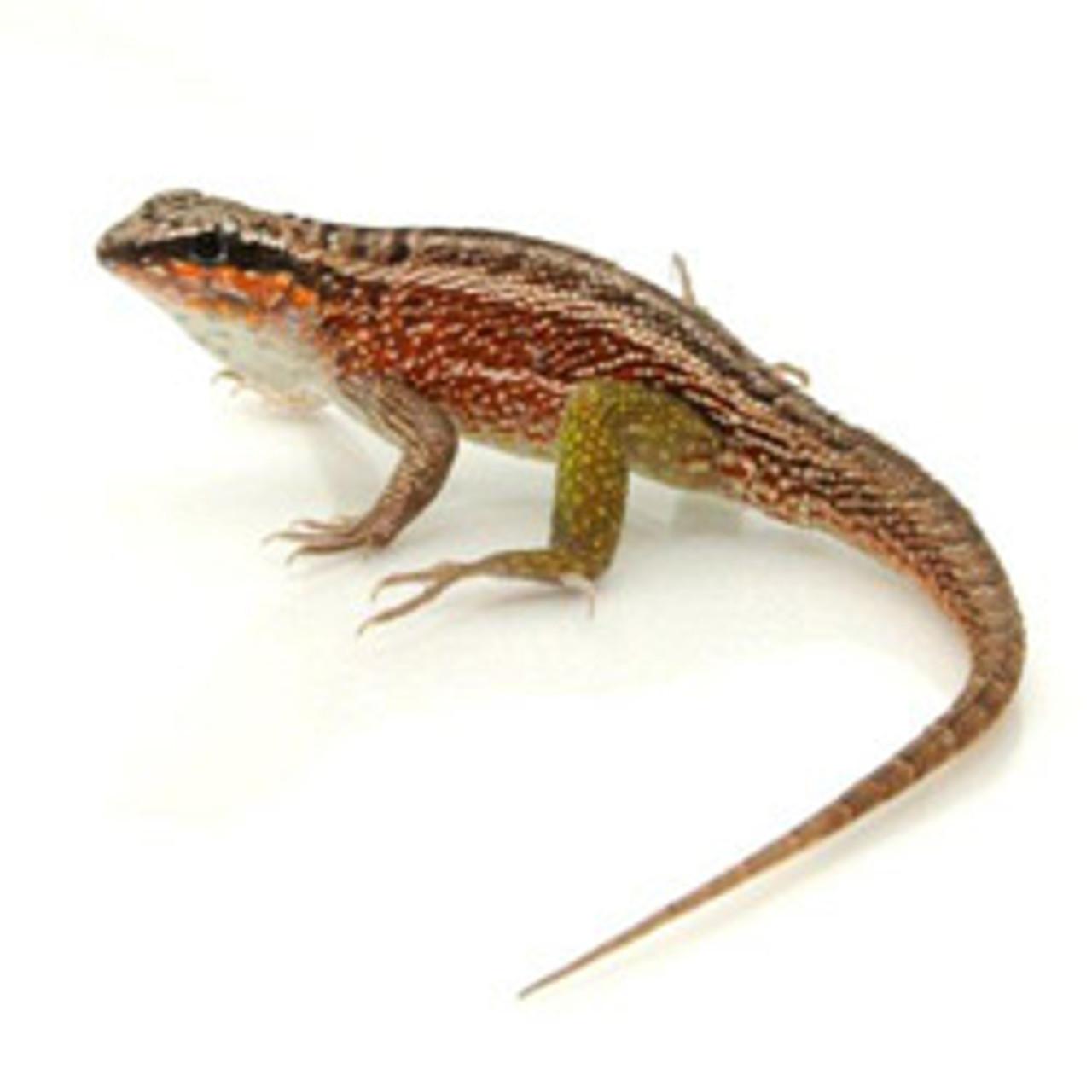 Jeweled Curly Tail Lizard