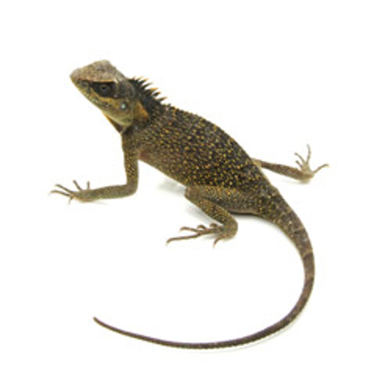Mountain Horn Lizard