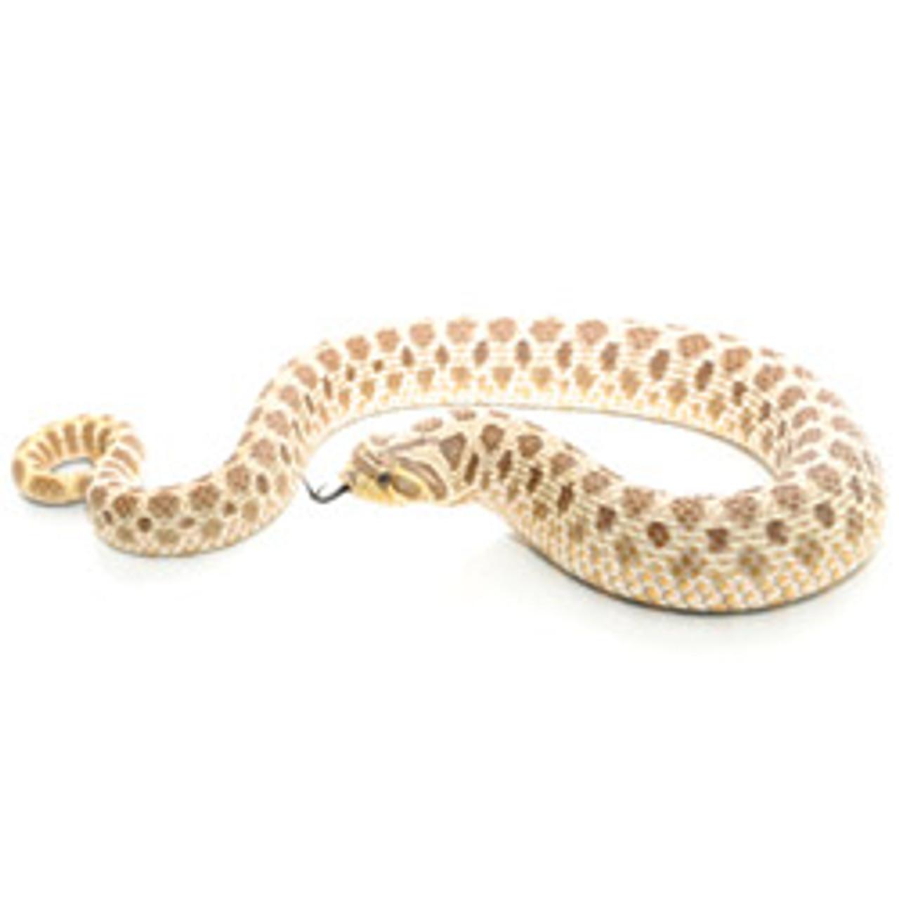 Western Hognose Snakes (Heterodon nasicus)