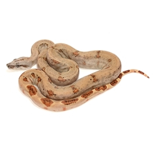 Guyana Redtail Boa for sale from ReptMart com